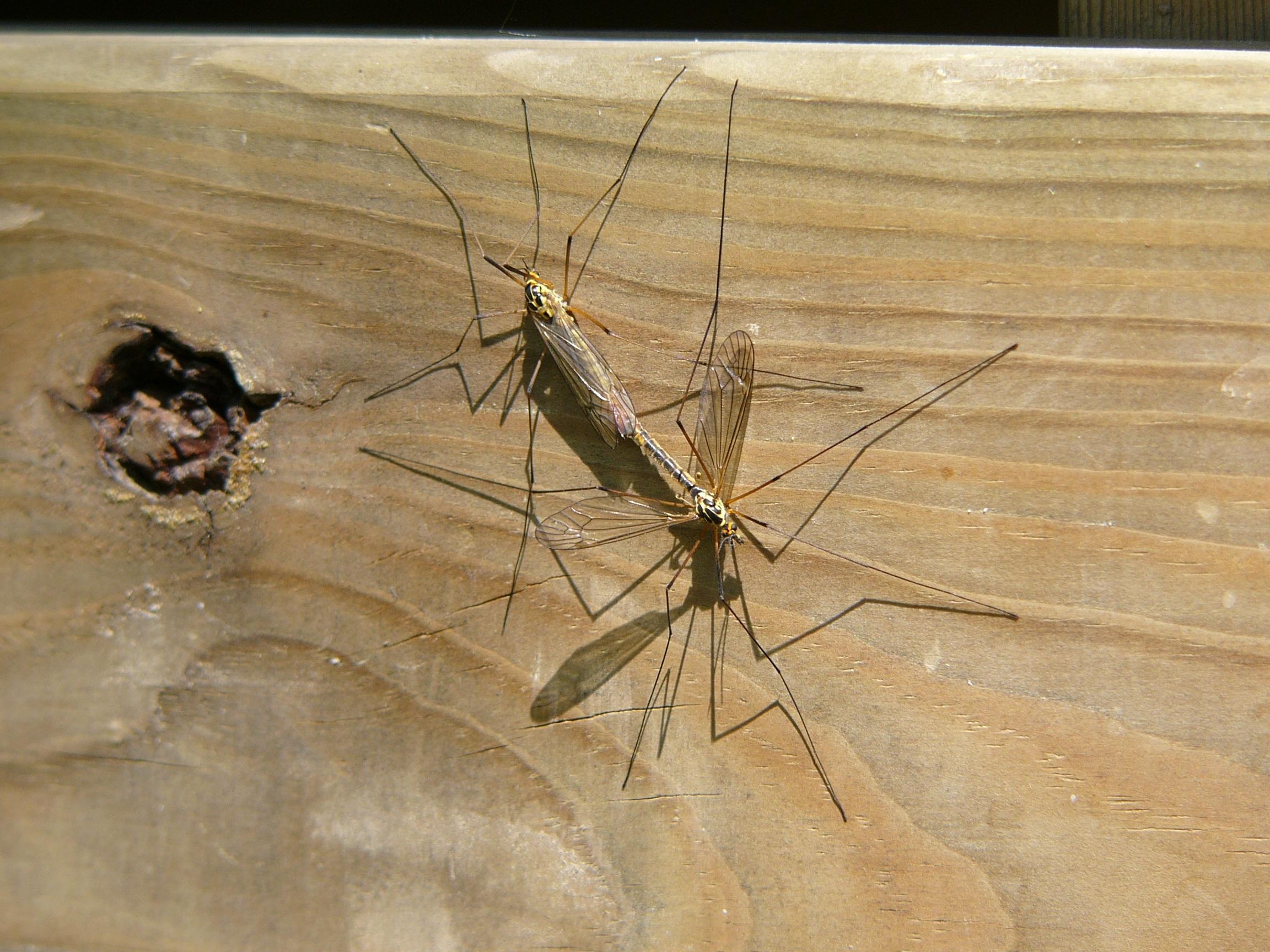 Kostenlose foto : Natur, Flügel, Holz, Liebe, Insekt, Paar, Fauna ...