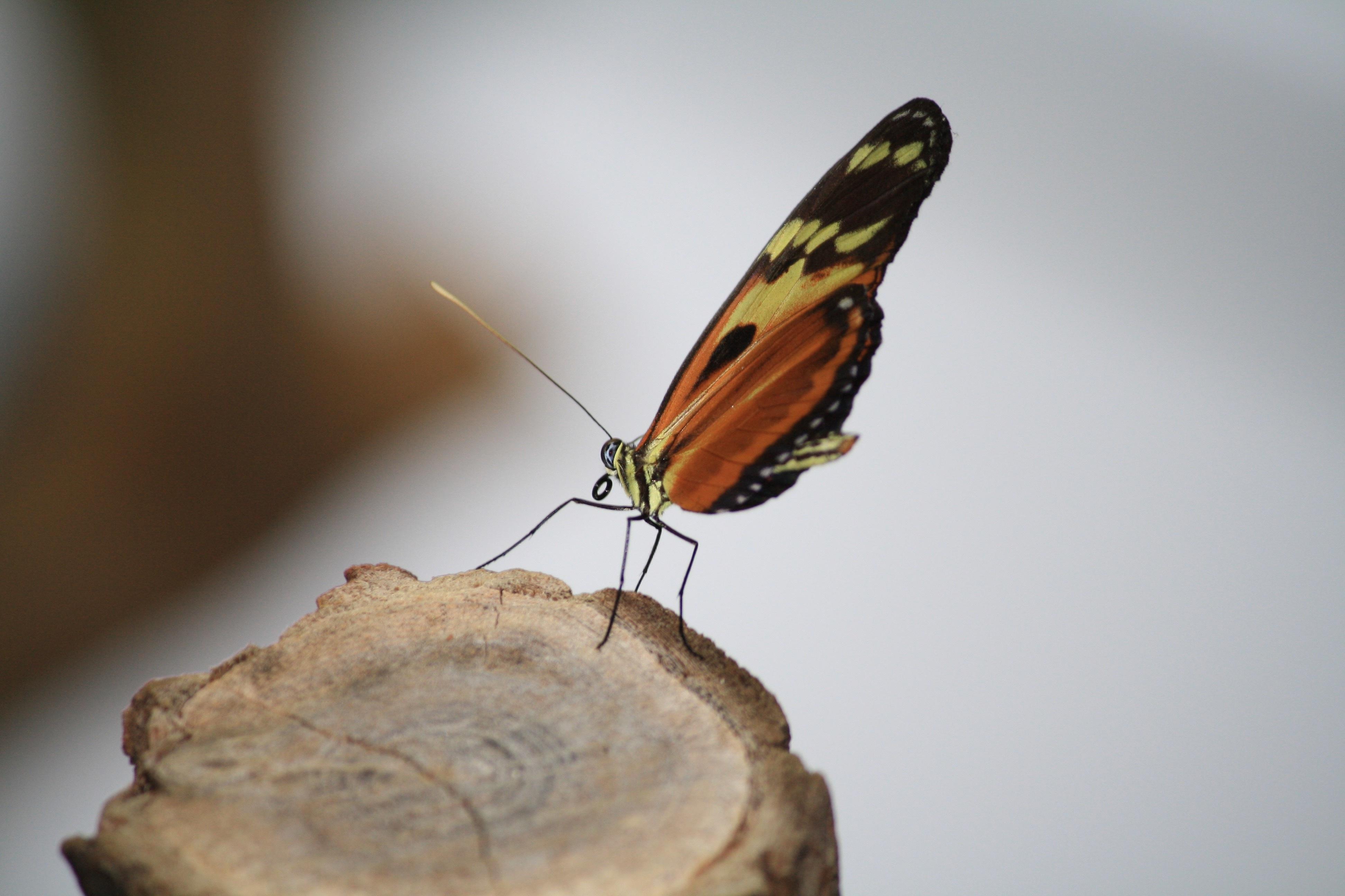 Fotos Gratis Naturaleza Ala Madera Fotograf A Hoja Insecto  ~ Como Son Las Polillas De La Madera