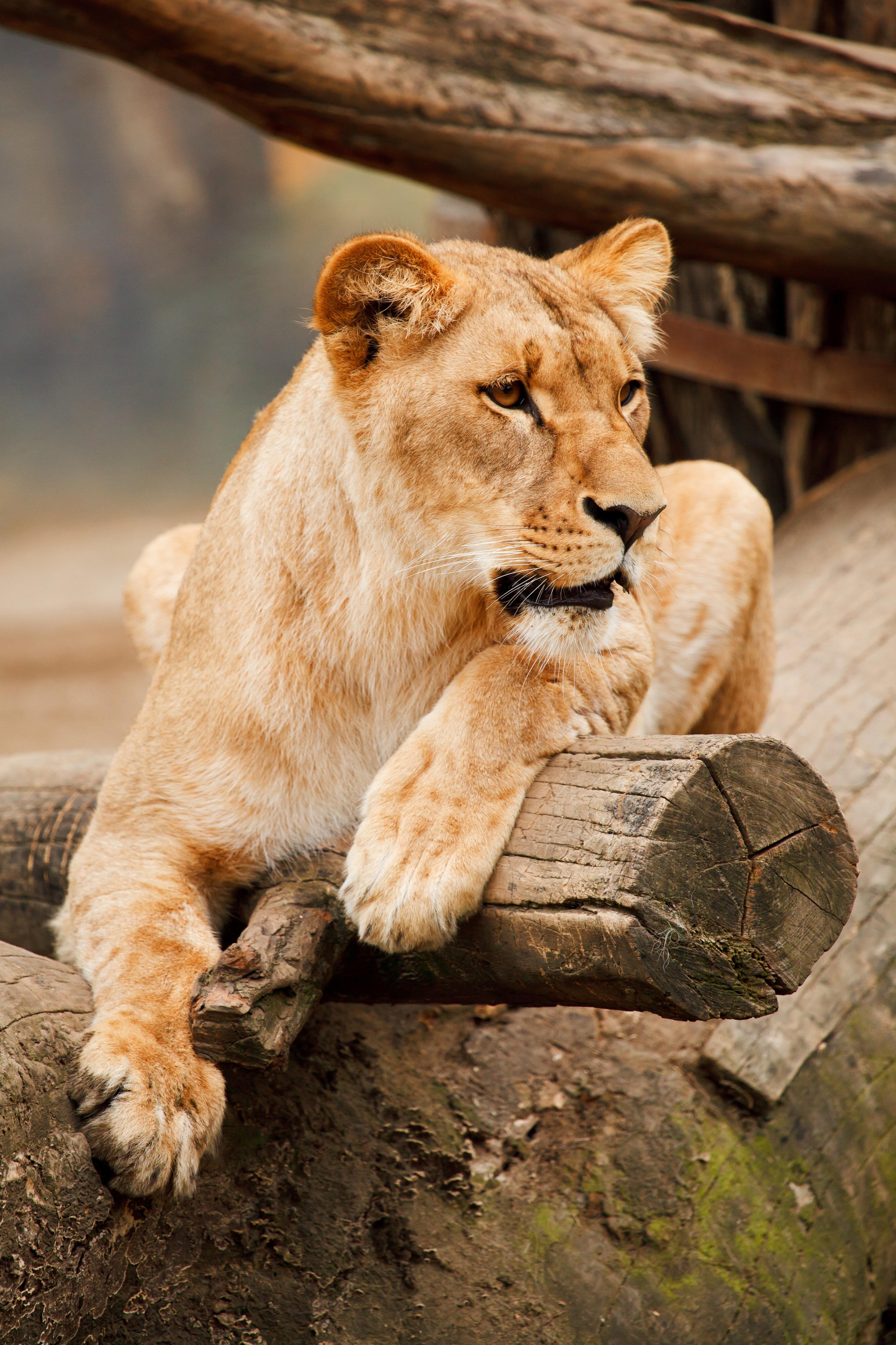 Фото львицы в природе