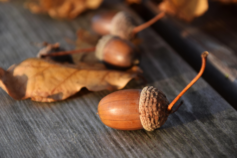 hình ảnh : thiên nhiên, Gỗ, Trang trí, món ăn, Sản xuất, Mùa thu, Acorn,  dừa, lá, hạt giống, các mùa, Trái cây, Cây sồi, khí sắc, Acorns, Lá sồi,  Oak fruit, ...