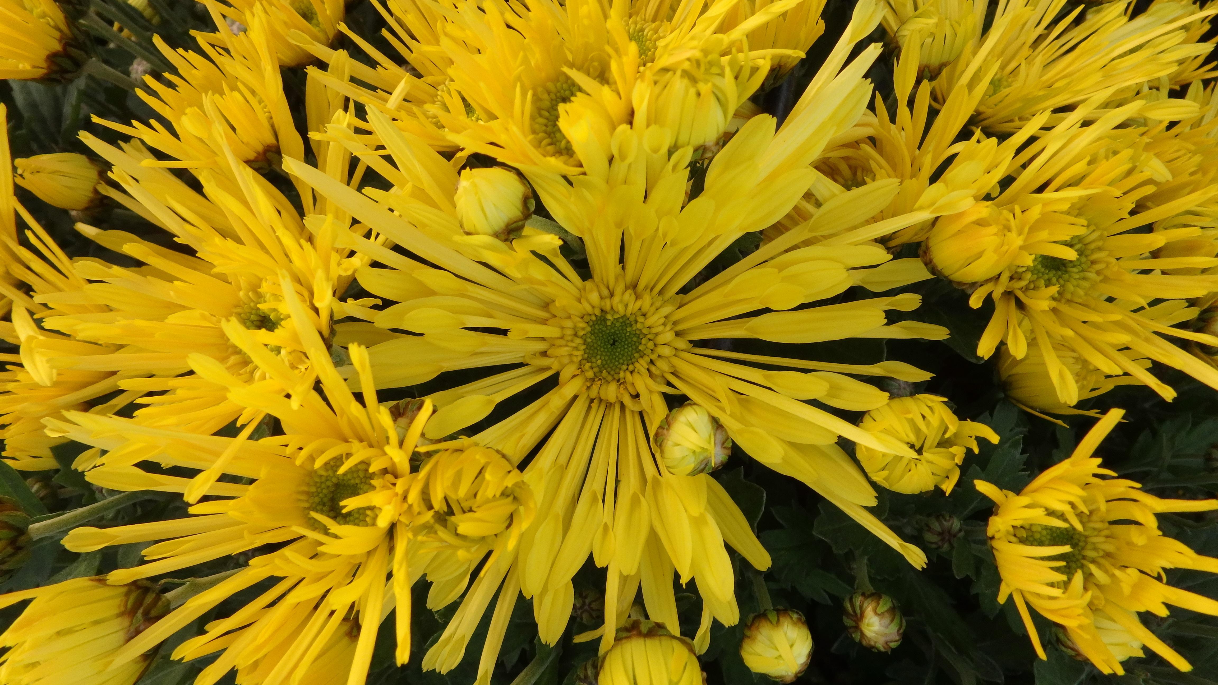 Хризантема дикая фото