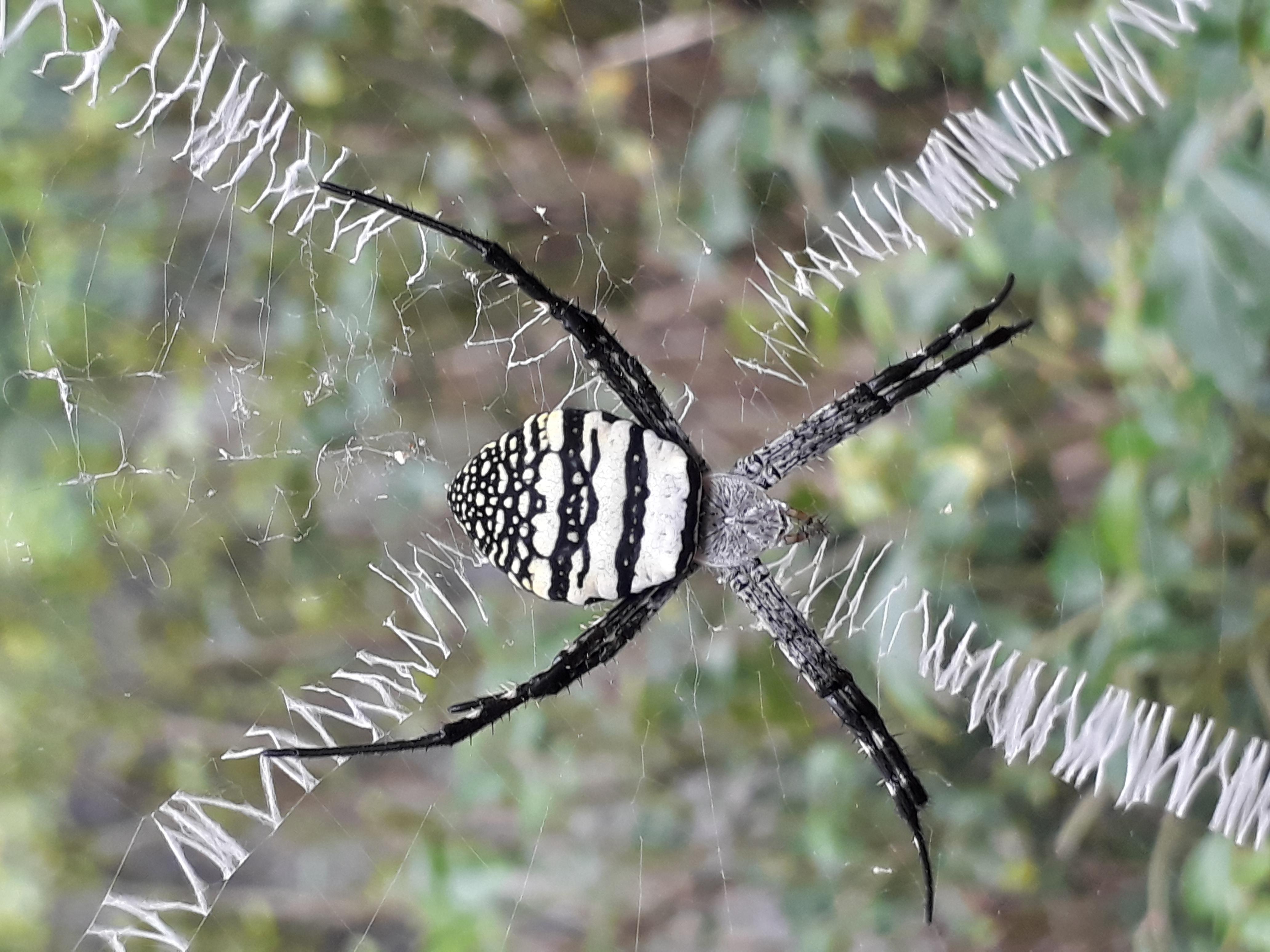 kostenlose foto nest spinne jagd natur schwarz wei wirbellos kosystem fauna orb. Black Bedroom Furniture Sets. Home Design Ideas