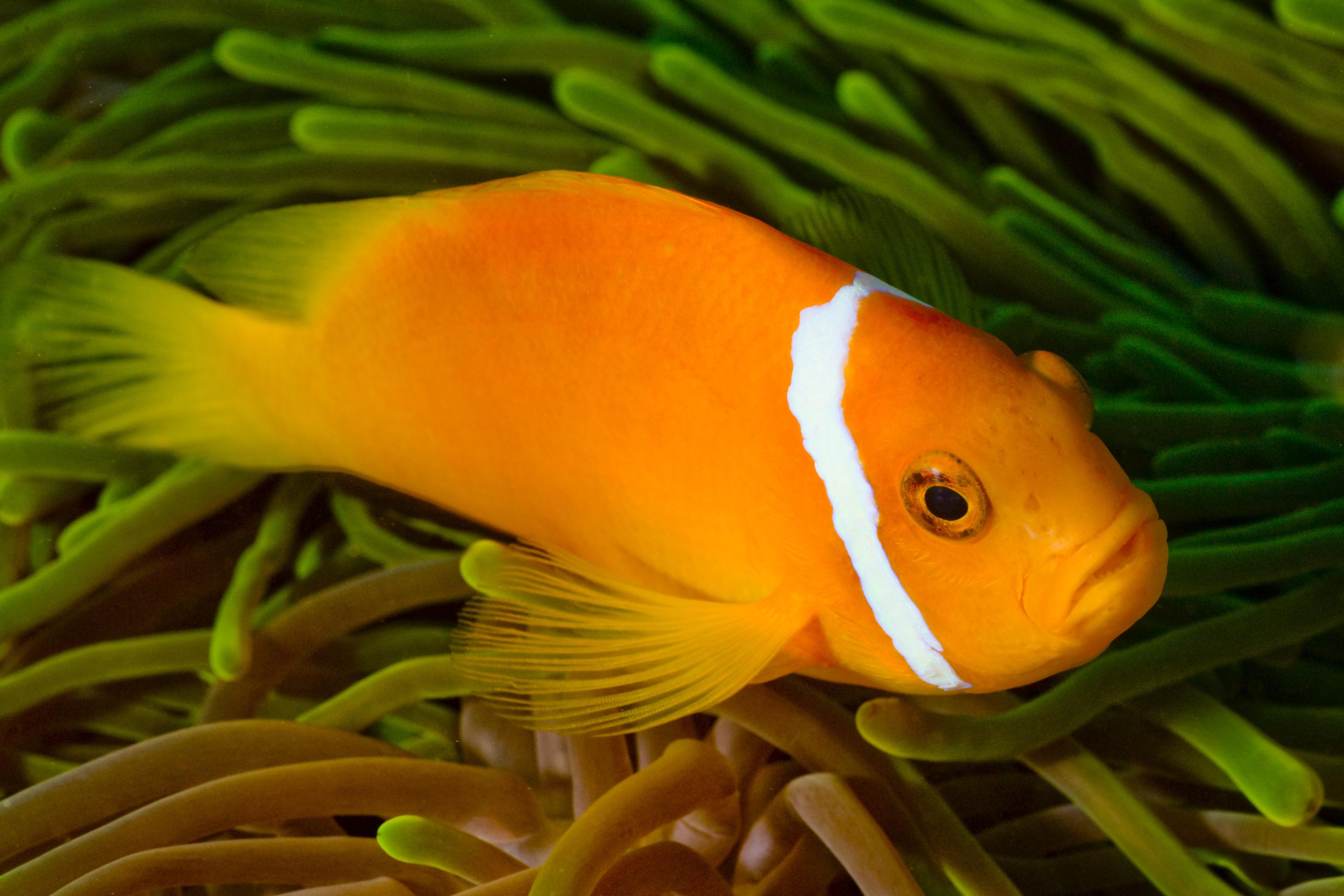 Free Images : ocean, flower, diving, underwater, yellow, trip, fauna, goldfish, safari, maldives ...