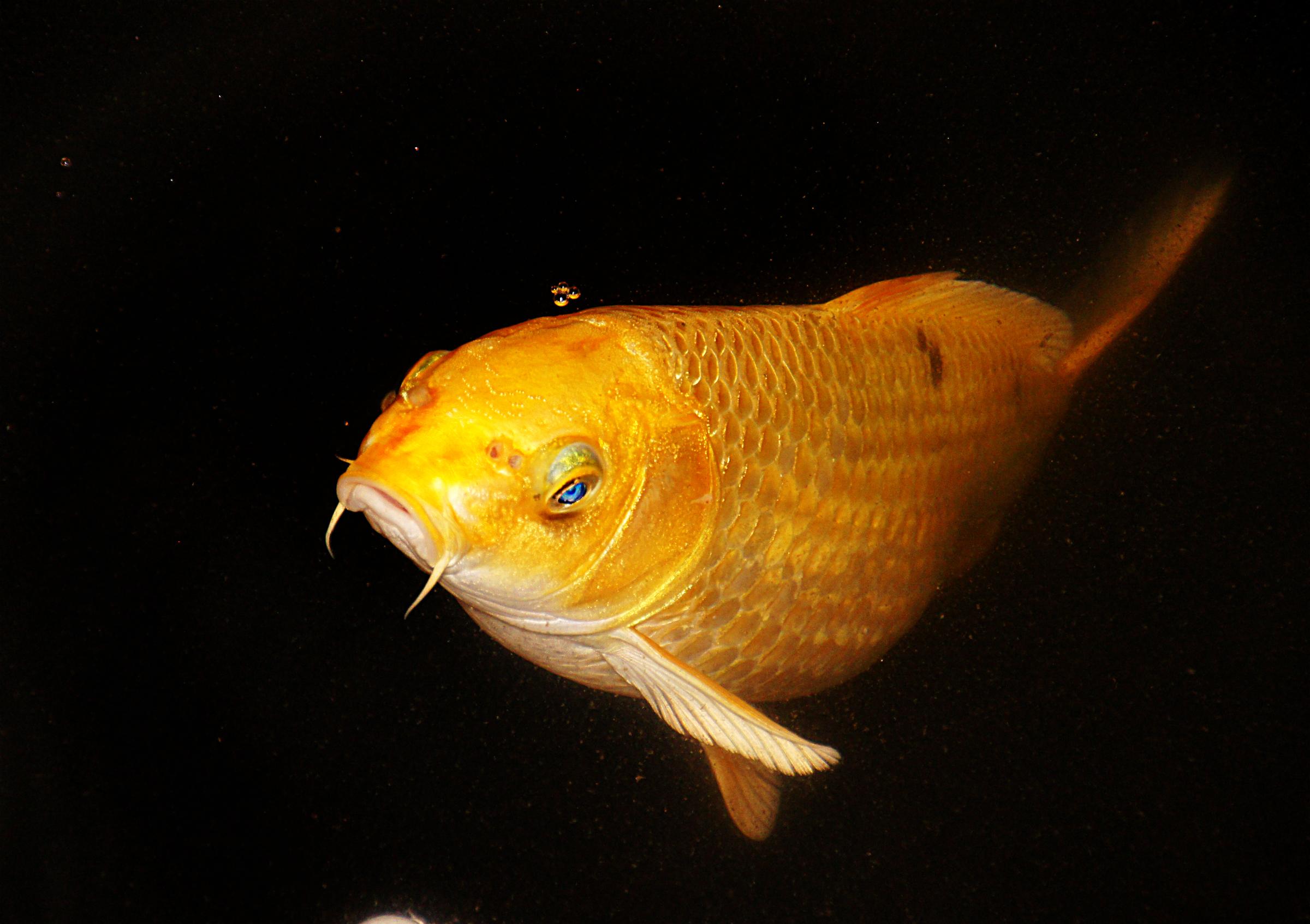 Free images orange yellow vertebrate koicarp for Carpe koi orange
