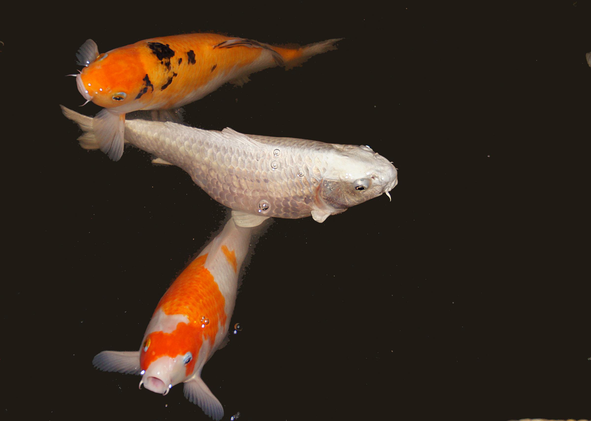 Free images orange fish koicarp goldfish koi carp for Carpe koi orange