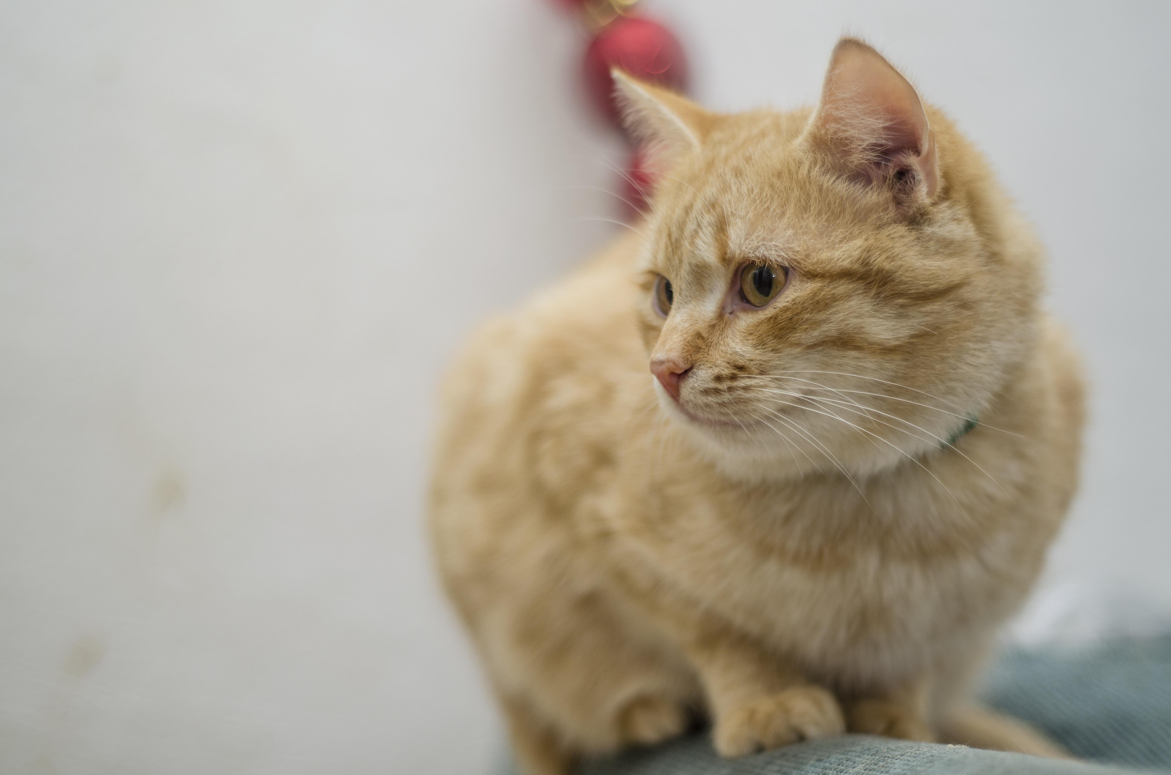orange and white striped cat breed
