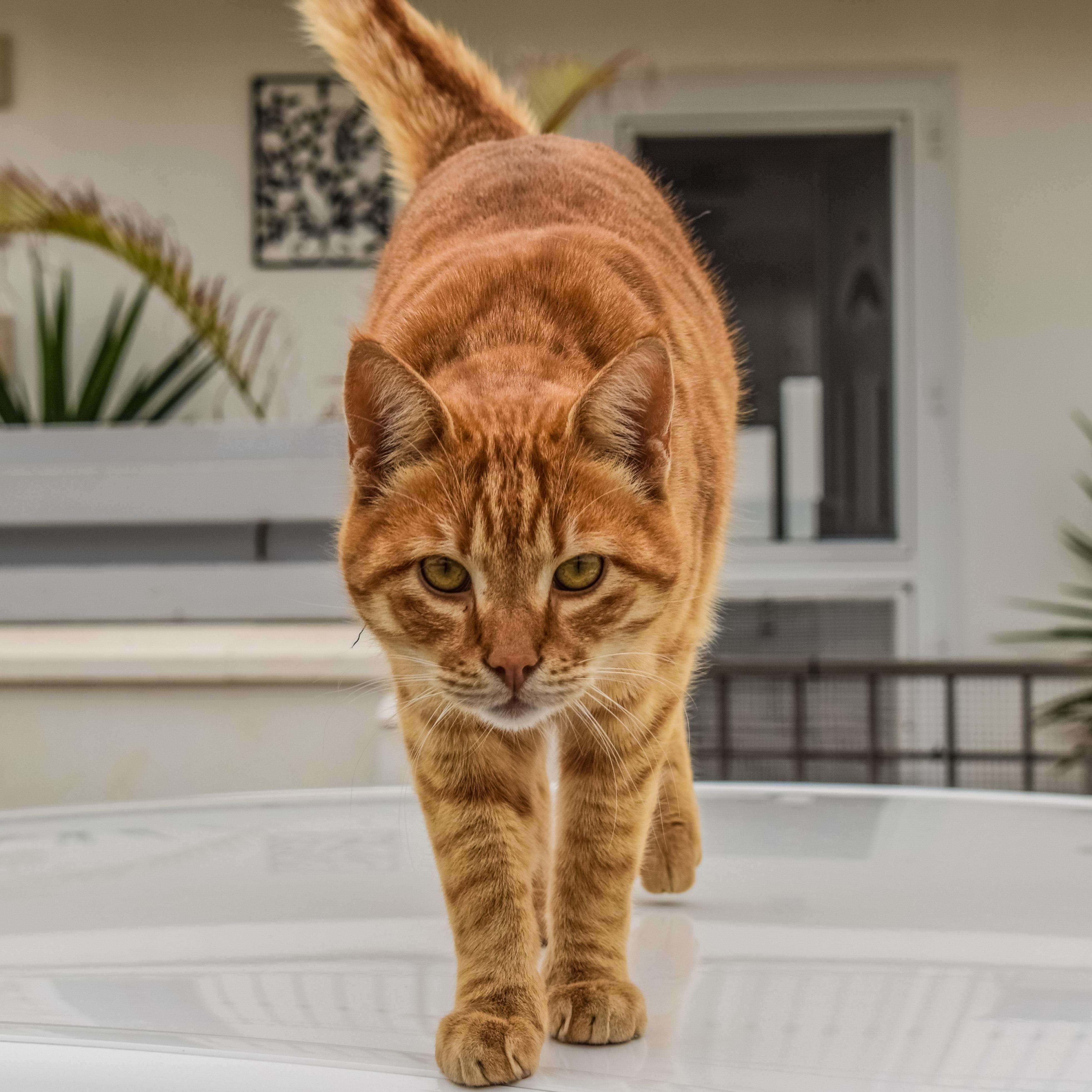 Free Images Outdoor Animal Cute Looking Pet Orange Kitten