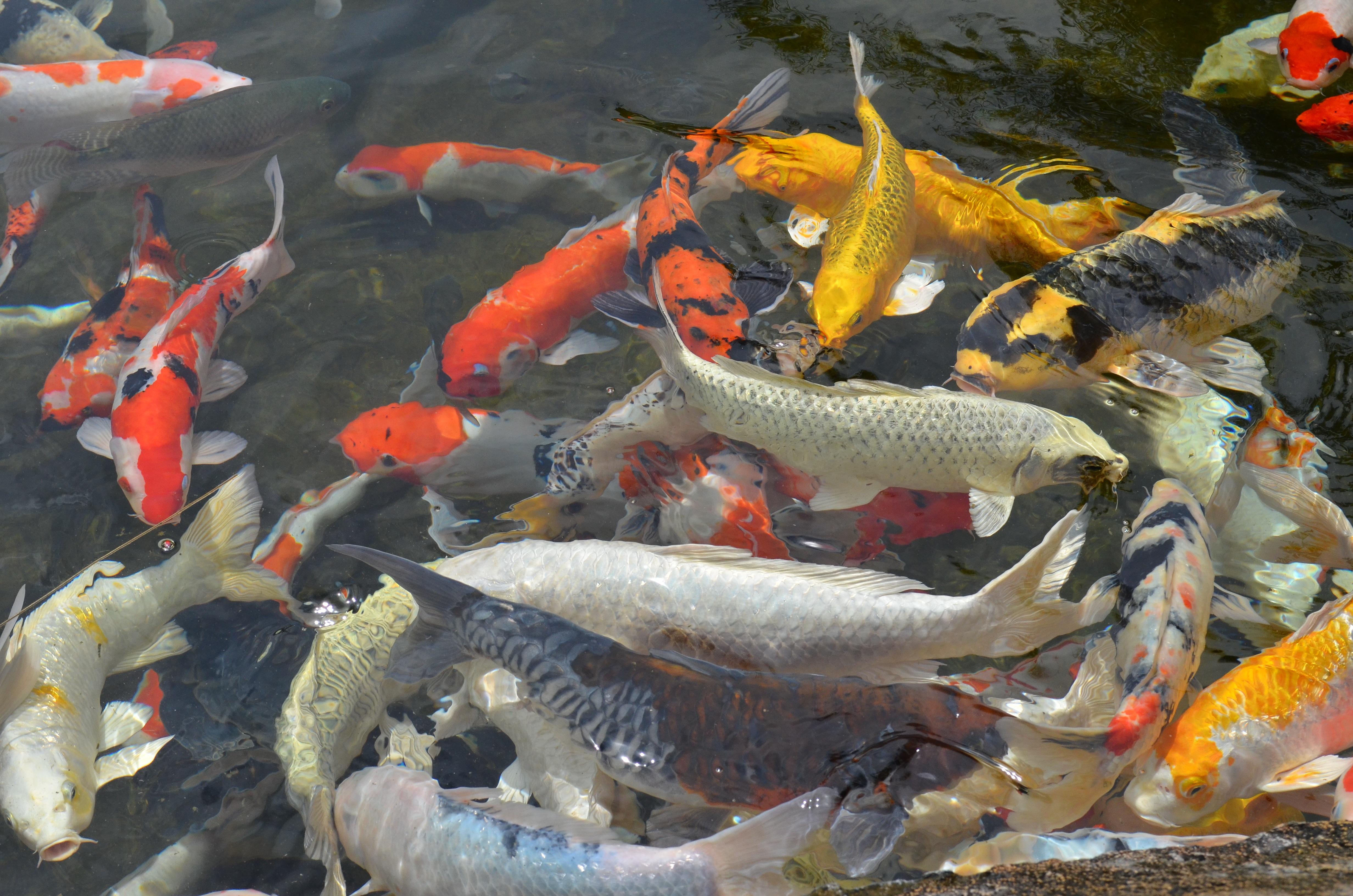al aire libre pescado koi pez ornamental pez koi estanque de peces biologa marina