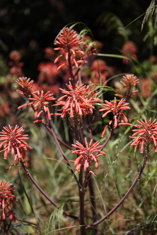 Image Plante Aloe Vera gambar : outdoor, cahaya, menanam, matahari, daun, eropah