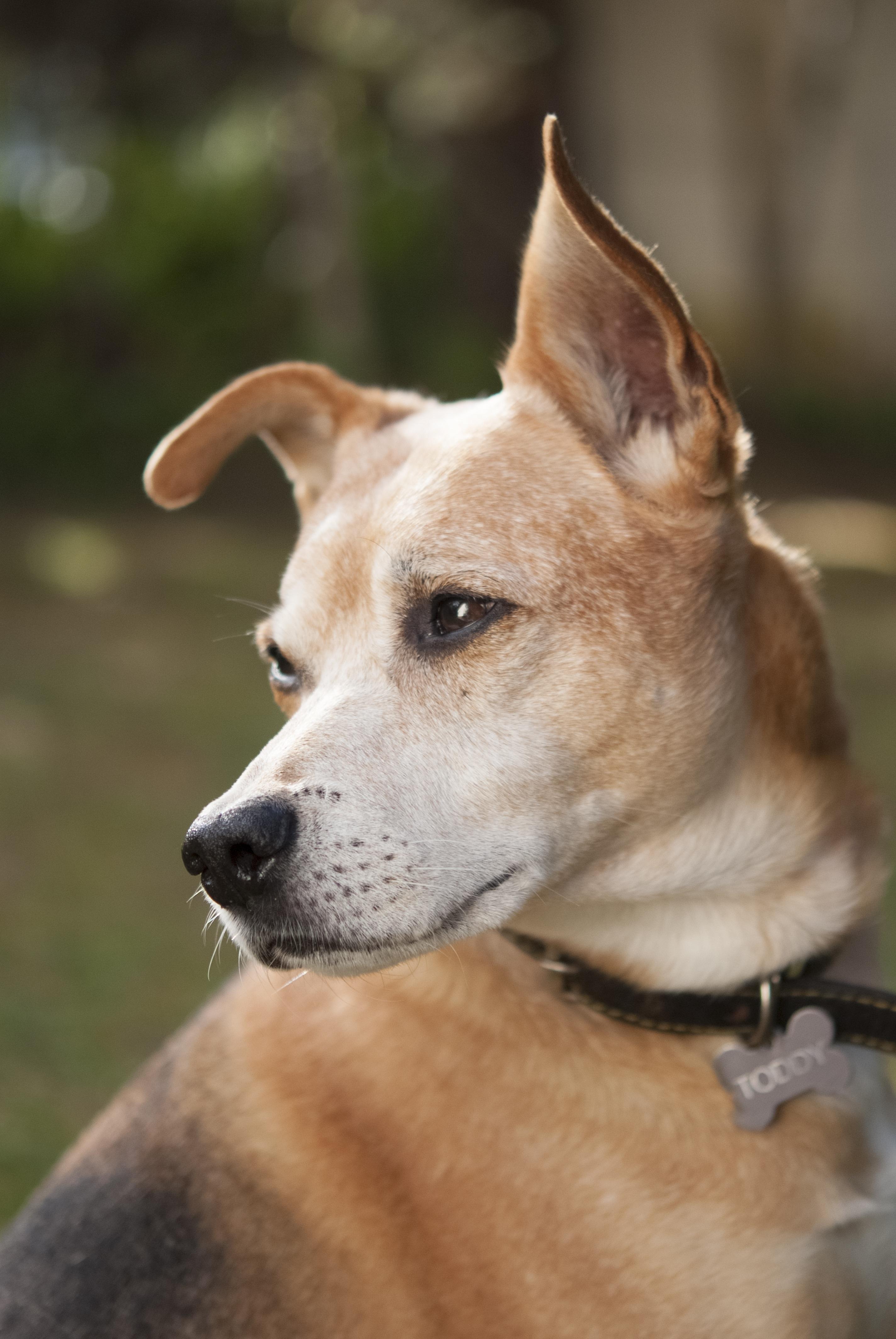 Best Fur Brown Adorable Dog - outdoor-puppy-dog-animal-cute-canine-love-pet-fur-mammal-friend-outdoors-face-vertebrate-adorable-dog-breed-dingo-street-dog-dog-like-mammal-animal-sports-pariah-dog-carolina-dog-805092  Gallery_661017  .jpg