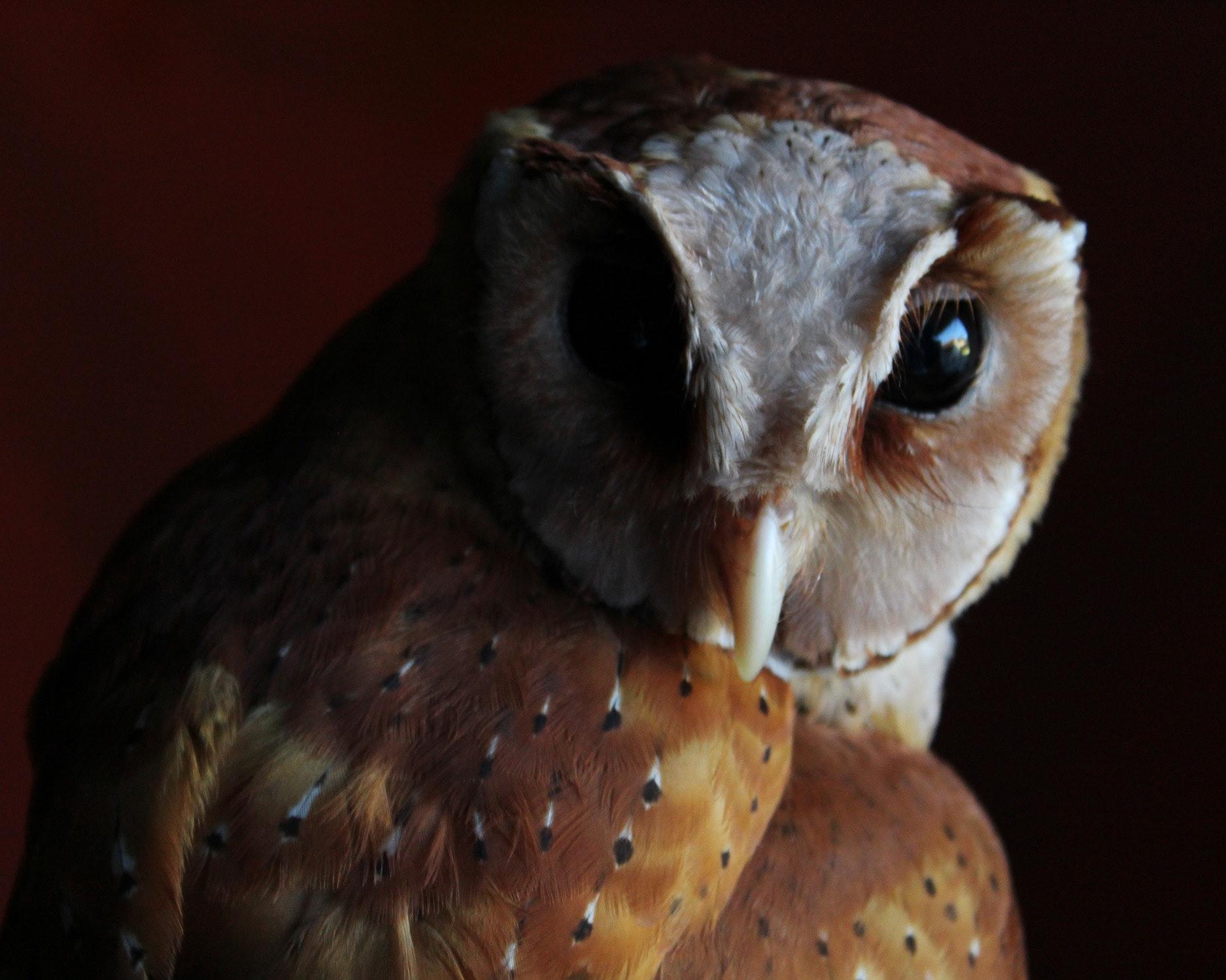Free Images : bird of prey, barn owl, beak, Eastern ...