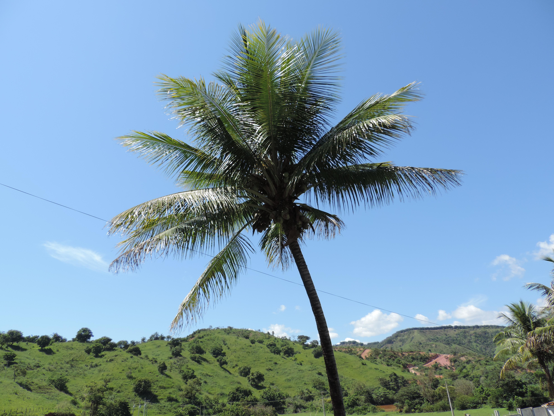 Free Images Palm Tree Sky Vegetation Woody Plant Arecales Date Palm Tropics Borassus Flabellifer Attalea Speciosa Elaeis Grass Coconut 4896x3672 Marcelomoreira 1460933 Free Stock Photos Pxhere Attalea martiana, attalea oleifera, attalea speciosa. pxhere