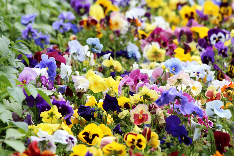 Pansies Violet Viola Tricolor Summer Flowers Garden Flowers Garden Plants  Purple Flowers Bloom Flower Bed Garden