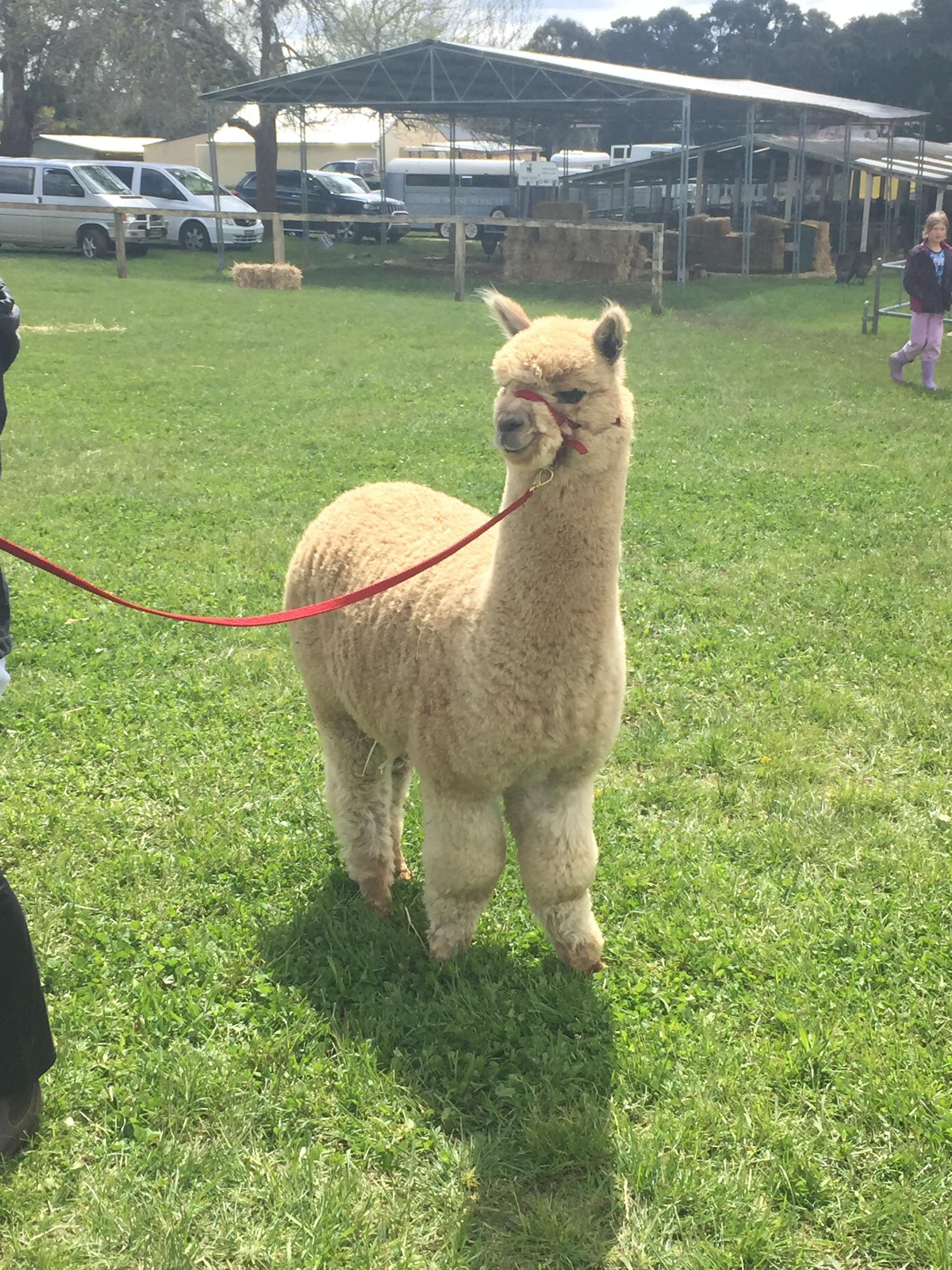 lamas reiten minecraft