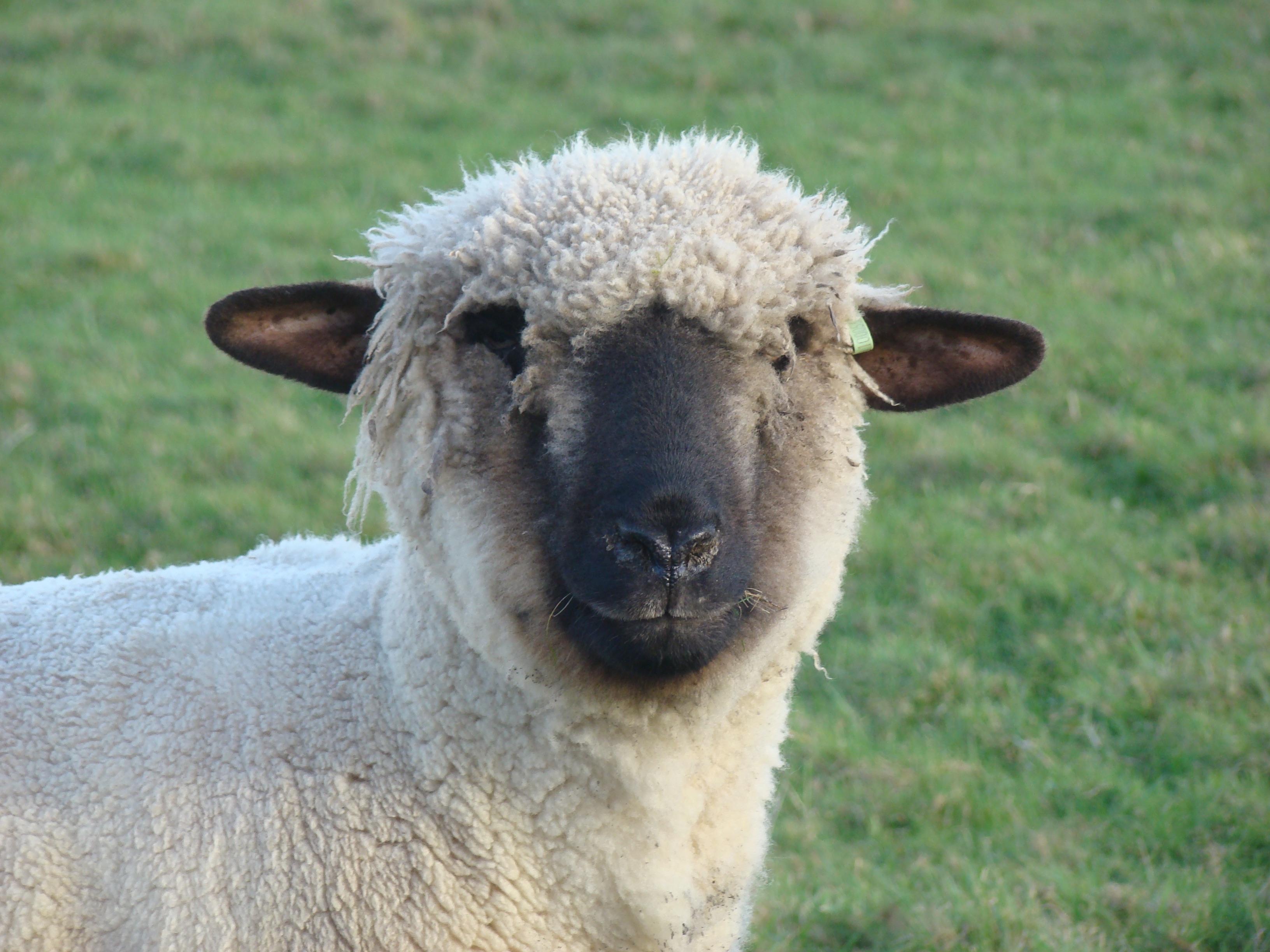 Прикольная картинка овца, открытки крестнице днем