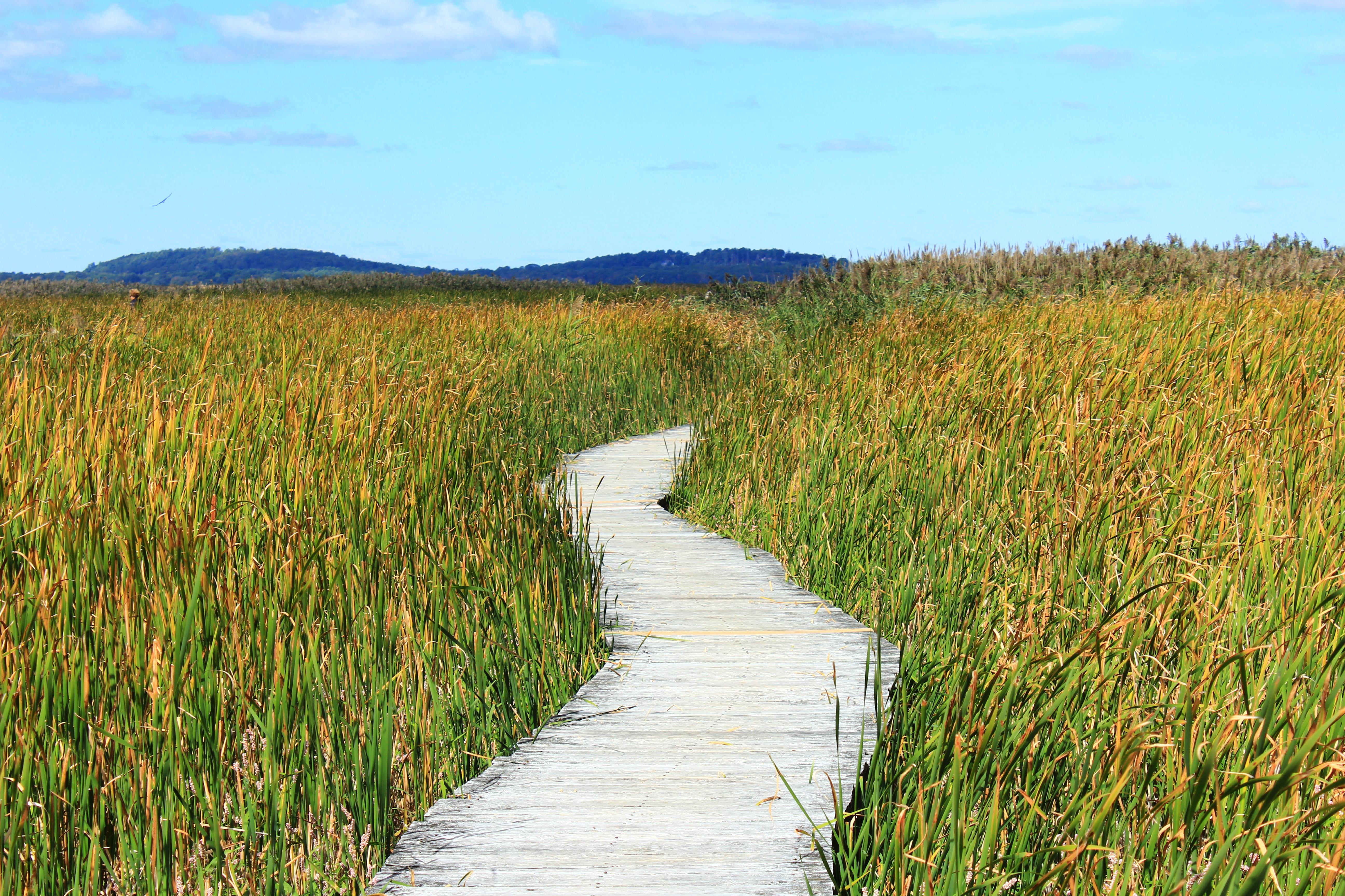 Free Images : path, meadow, prairie, reed, walk, crop ...
