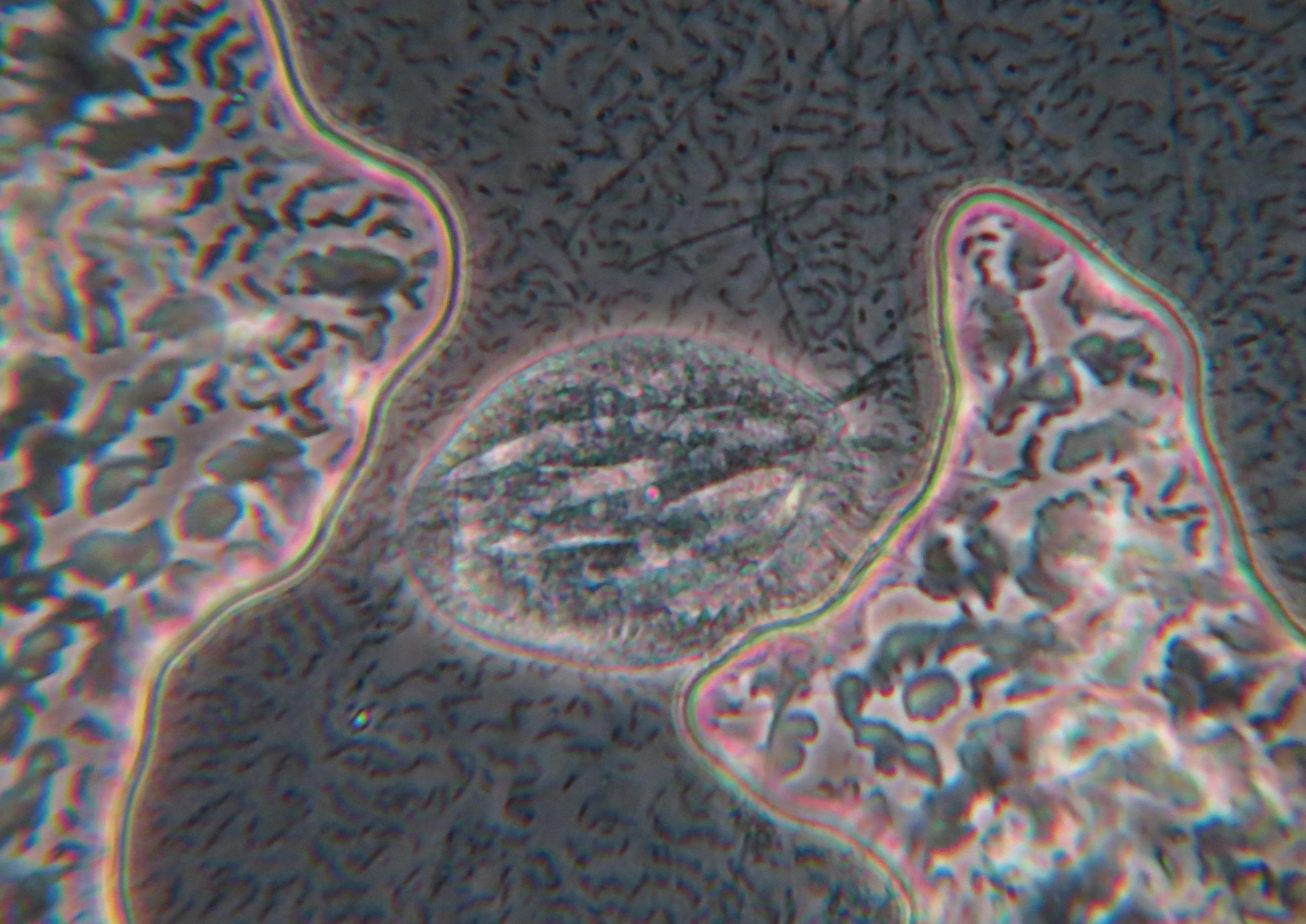 Fotos gratis : patrón biología art diseño organo protista