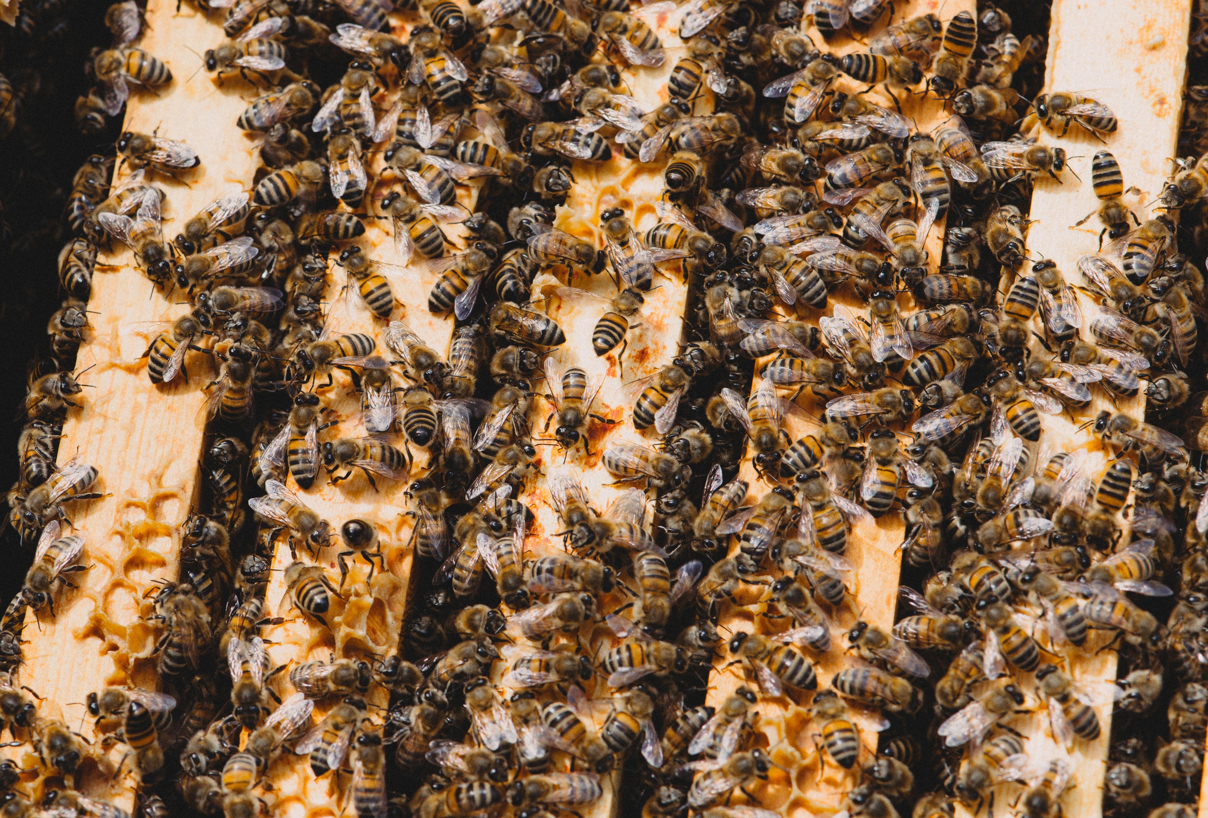 [Koleksi Terbaru] Sketsa Gambar Lebah Madu