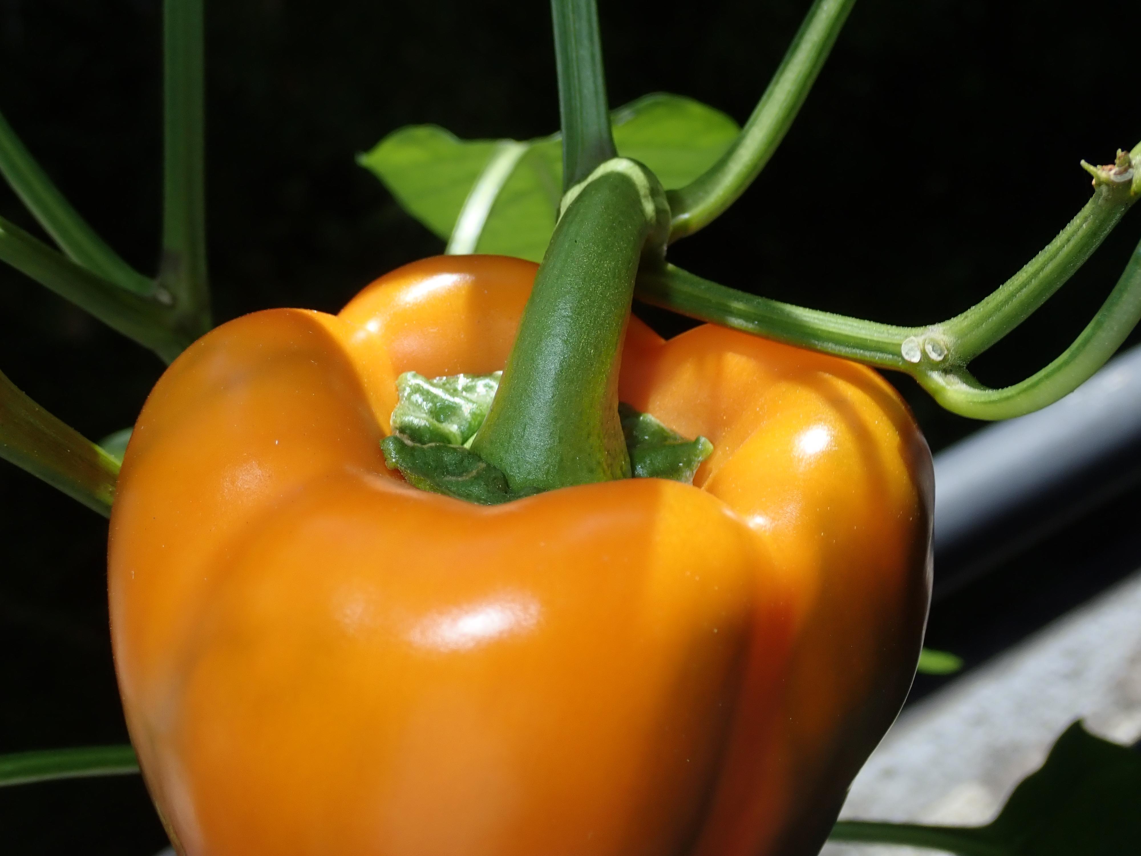 Free Images Bell Pepper Vegetable Plant Orange