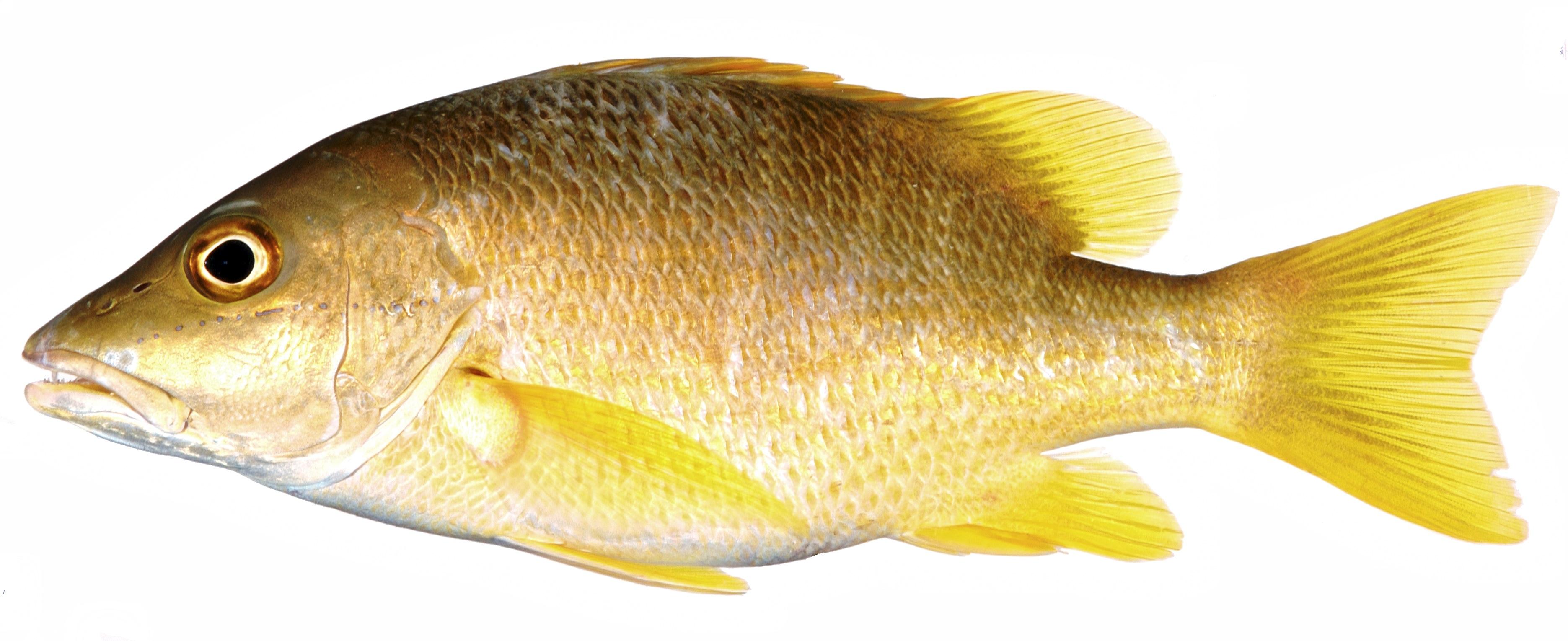Fotos gratis : perca, pescado, bajo, vertebrado, pez de colores ...