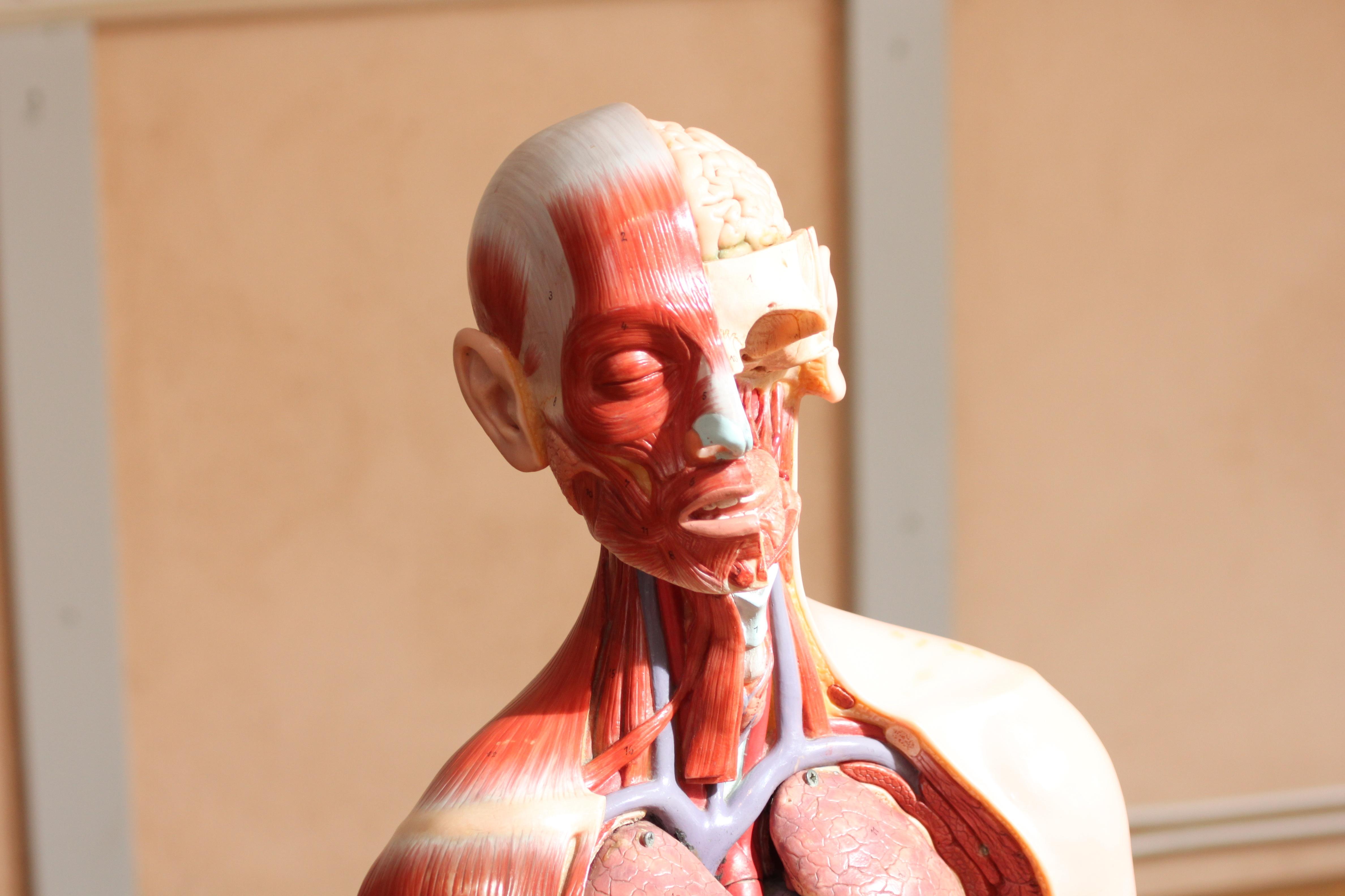Fotos gratis : persona, modelo, rojo, brazo, músculo, pecho, cuerpo ...