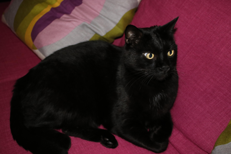 kostenlose foto haustier katzenartig schwarze katze schwarz sofa whiskers wirbeltier. Black Bedroom Furniture Sets. Home Design Ideas