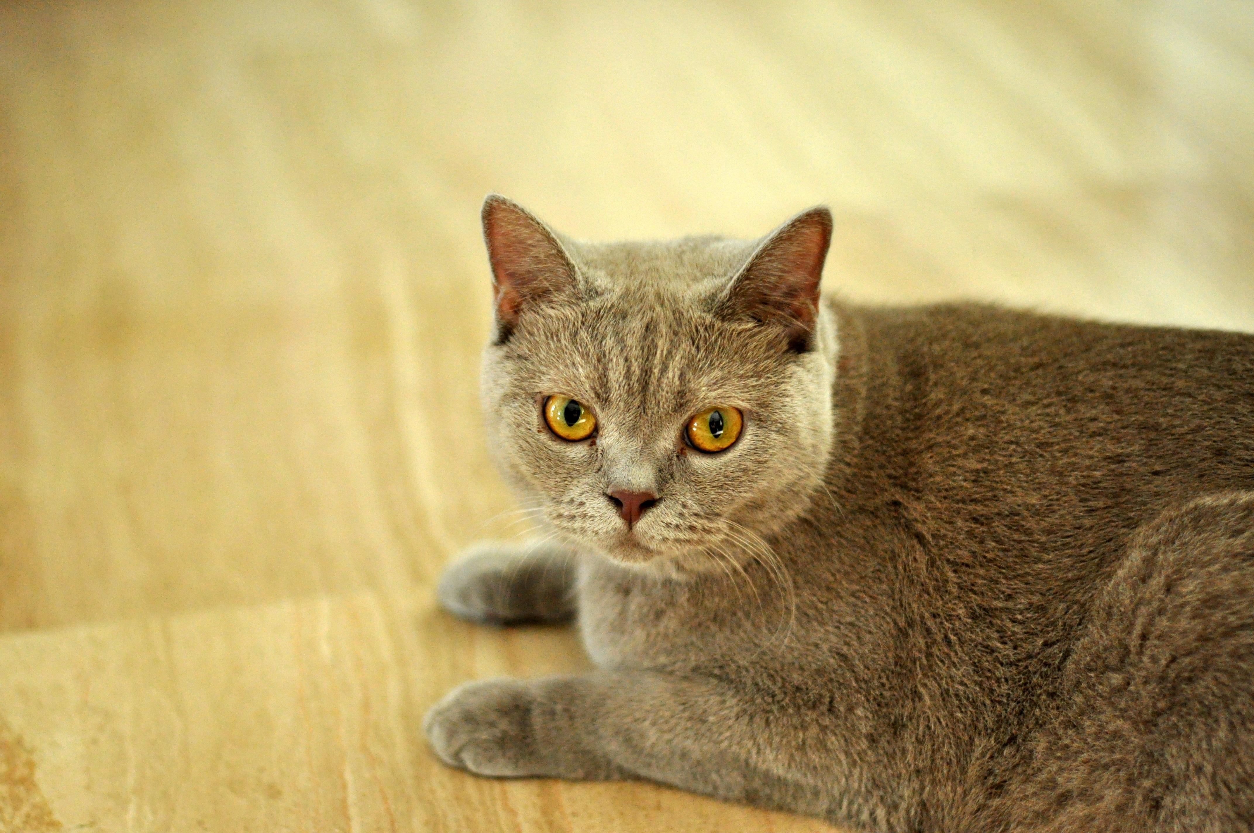 Free pet feline fauna whiskers vertebrate burmese