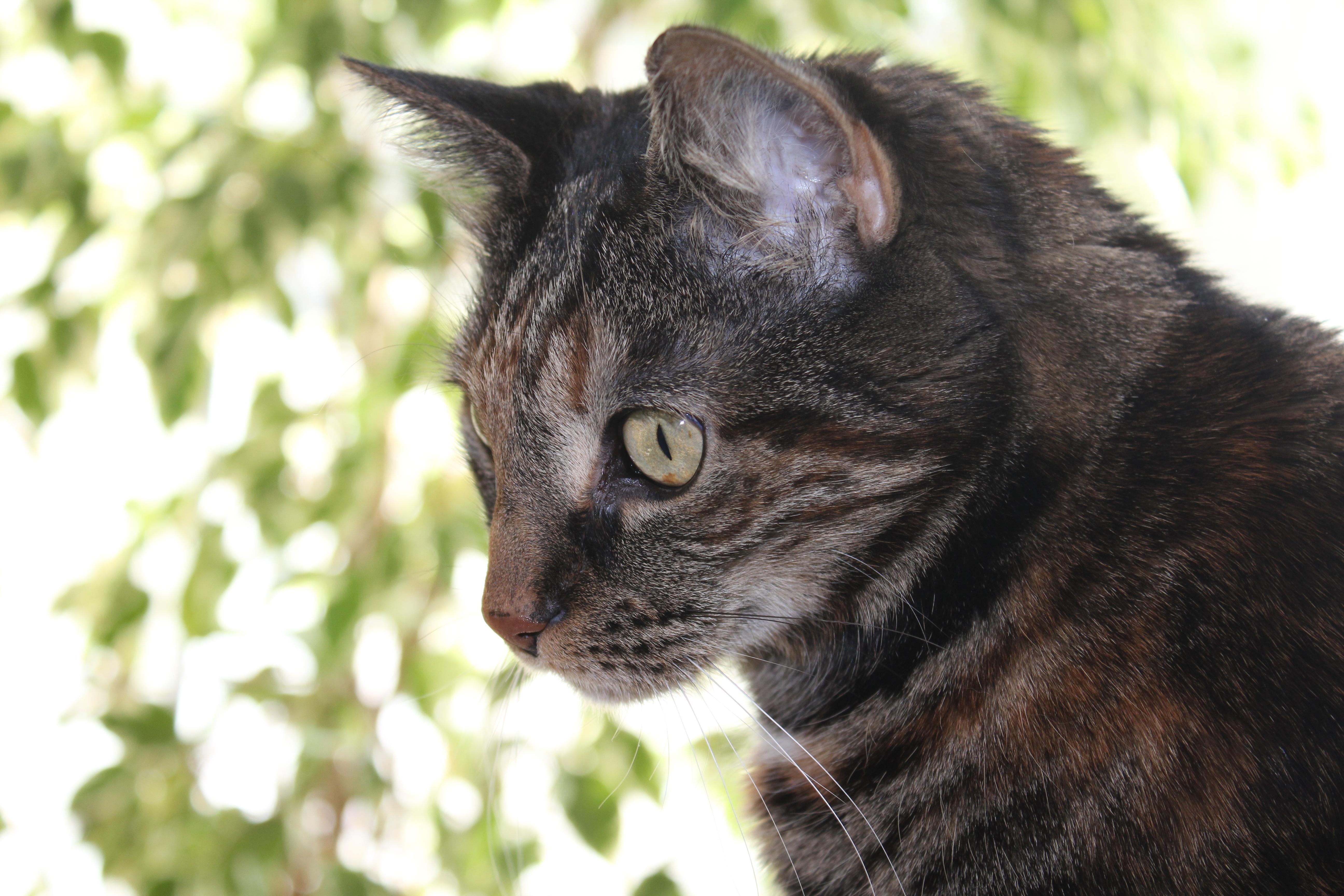 Čierna mačička domáce