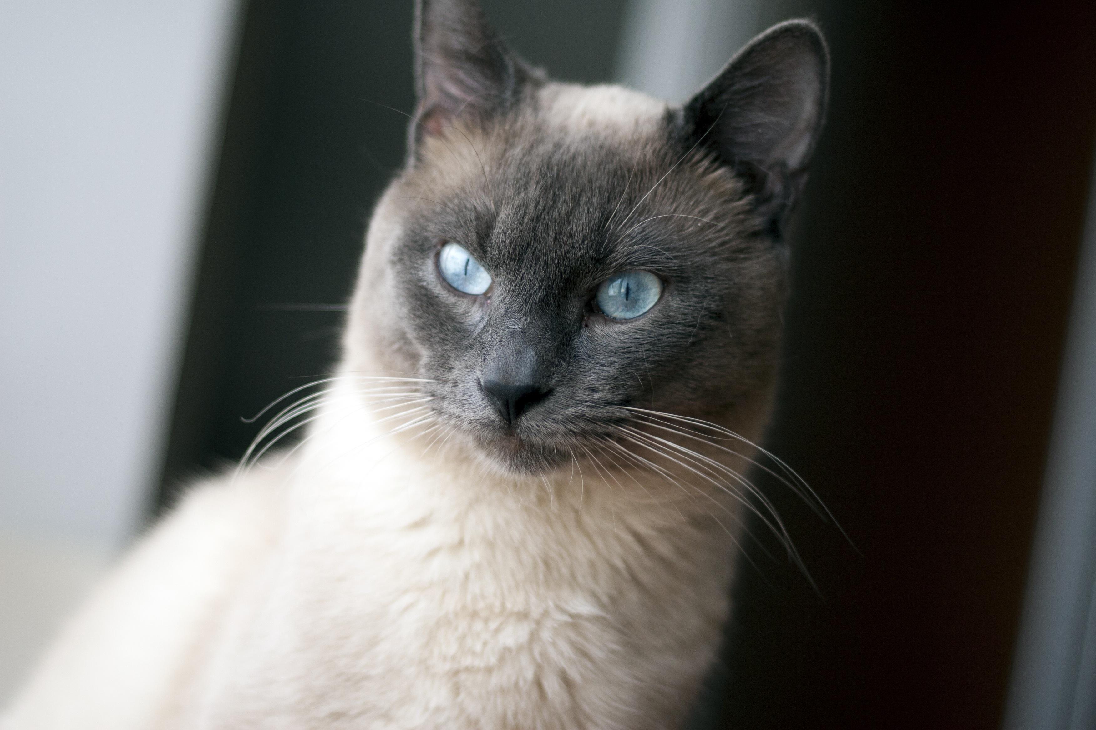 Free pet fauna close up whiskers vertebrate siamese