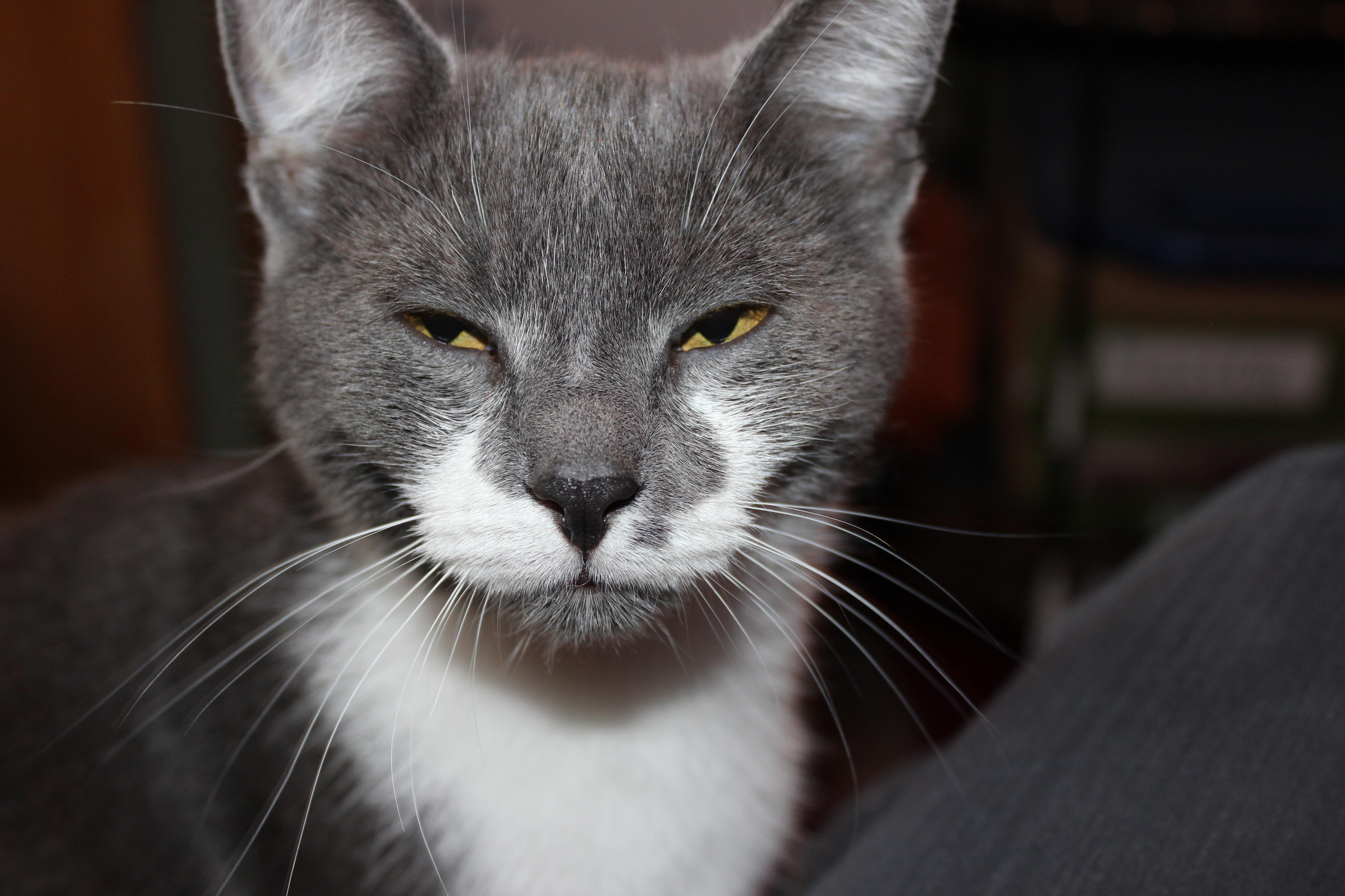 Veľký tuk chlpatý čierna mačička