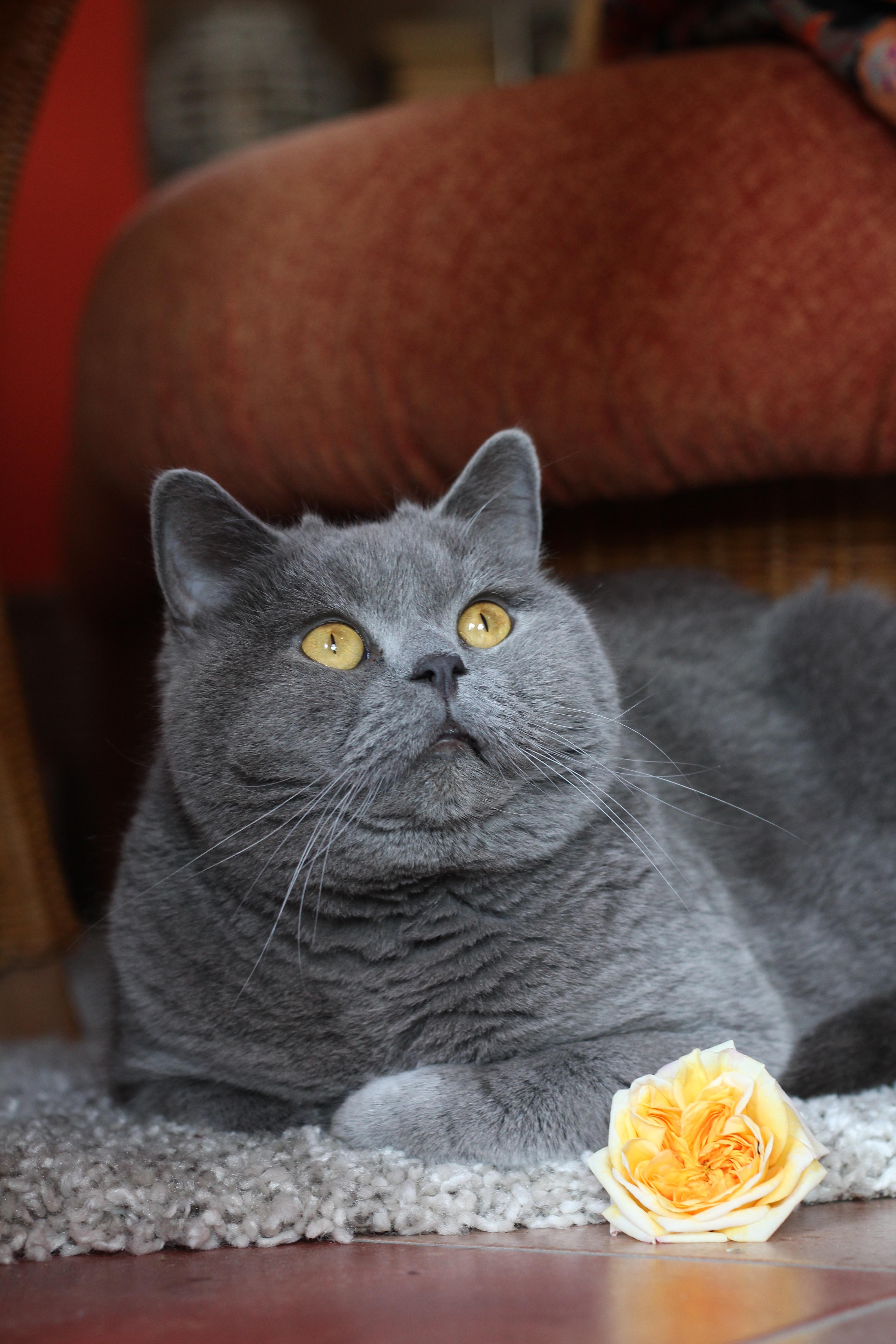 hình ảnh : vật nuôi, Lông thú, bông hồng, con mèo, Động vật có vú, Râu, Adidas, Động vật có xương sống, Súc vật, mèo nhà, Giống mèo, mặt mèo, ...
