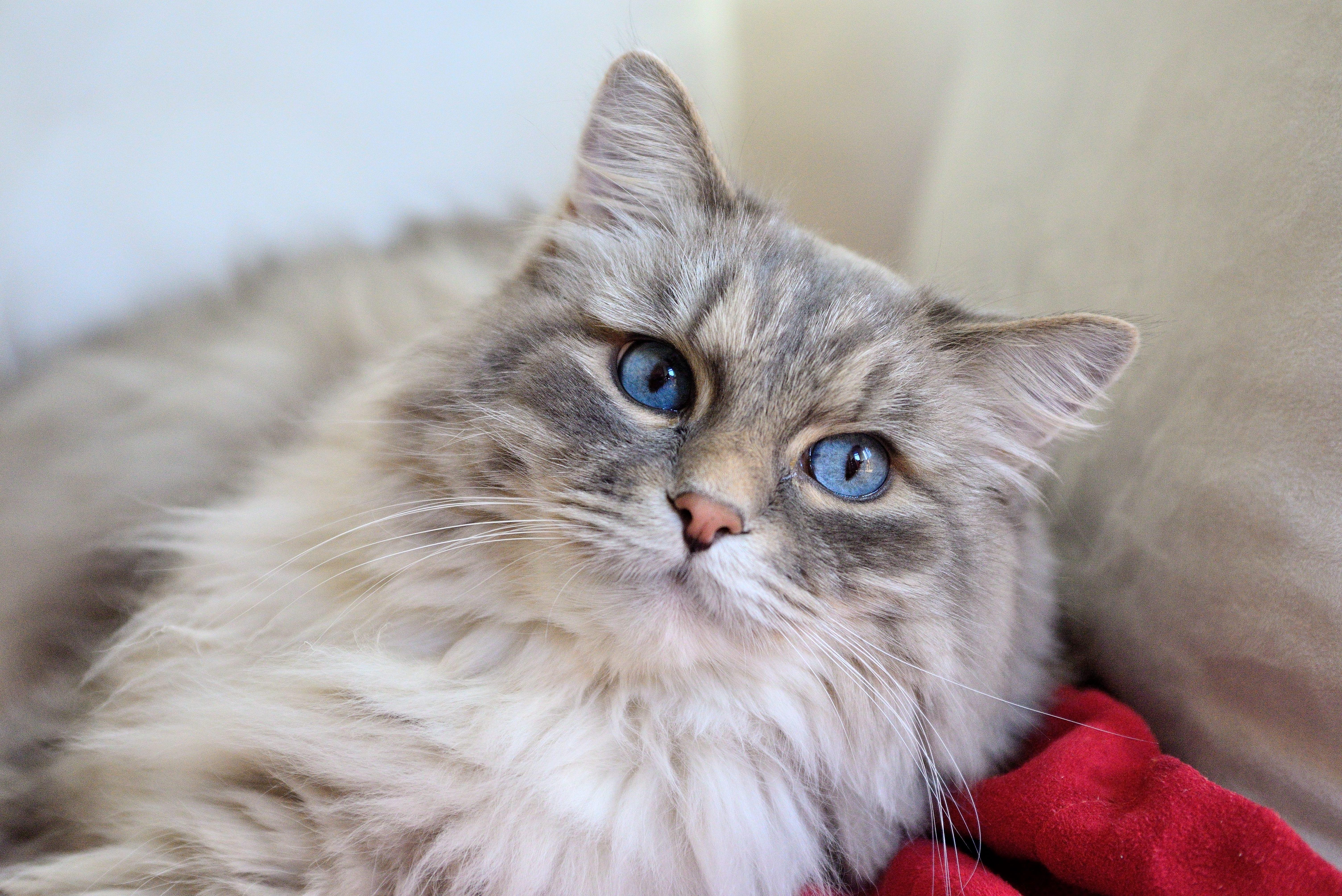 Download 93+  Gambar Kucing Persia Mata Biru Terbaru