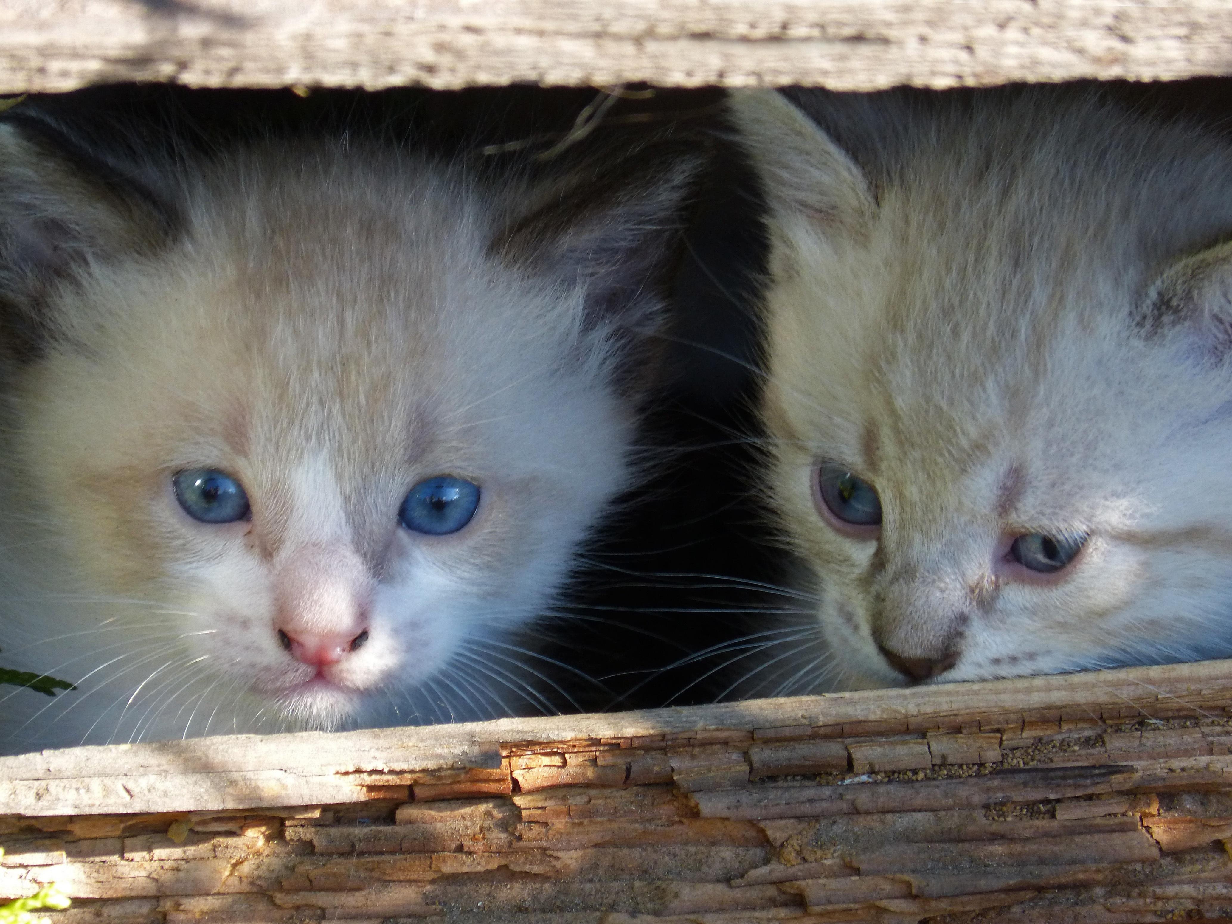 Free pet kitten fauna nose whiskers vertebrate