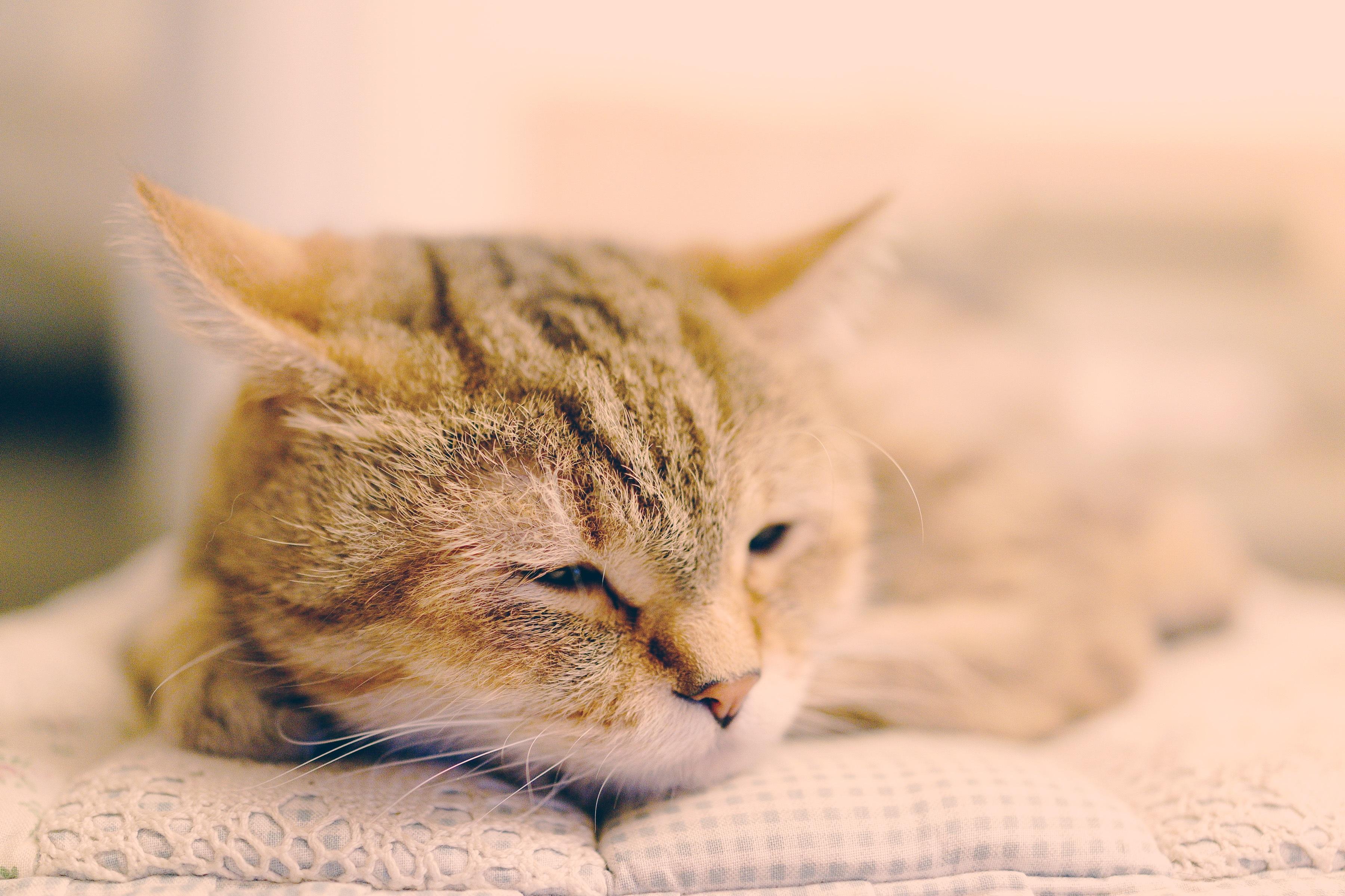 kostenlose foto haustier k tzchen fauna nahansicht nase whiskers haut wirbeltier tabby. Black Bedroom Furniture Sets. Home Design Ideas