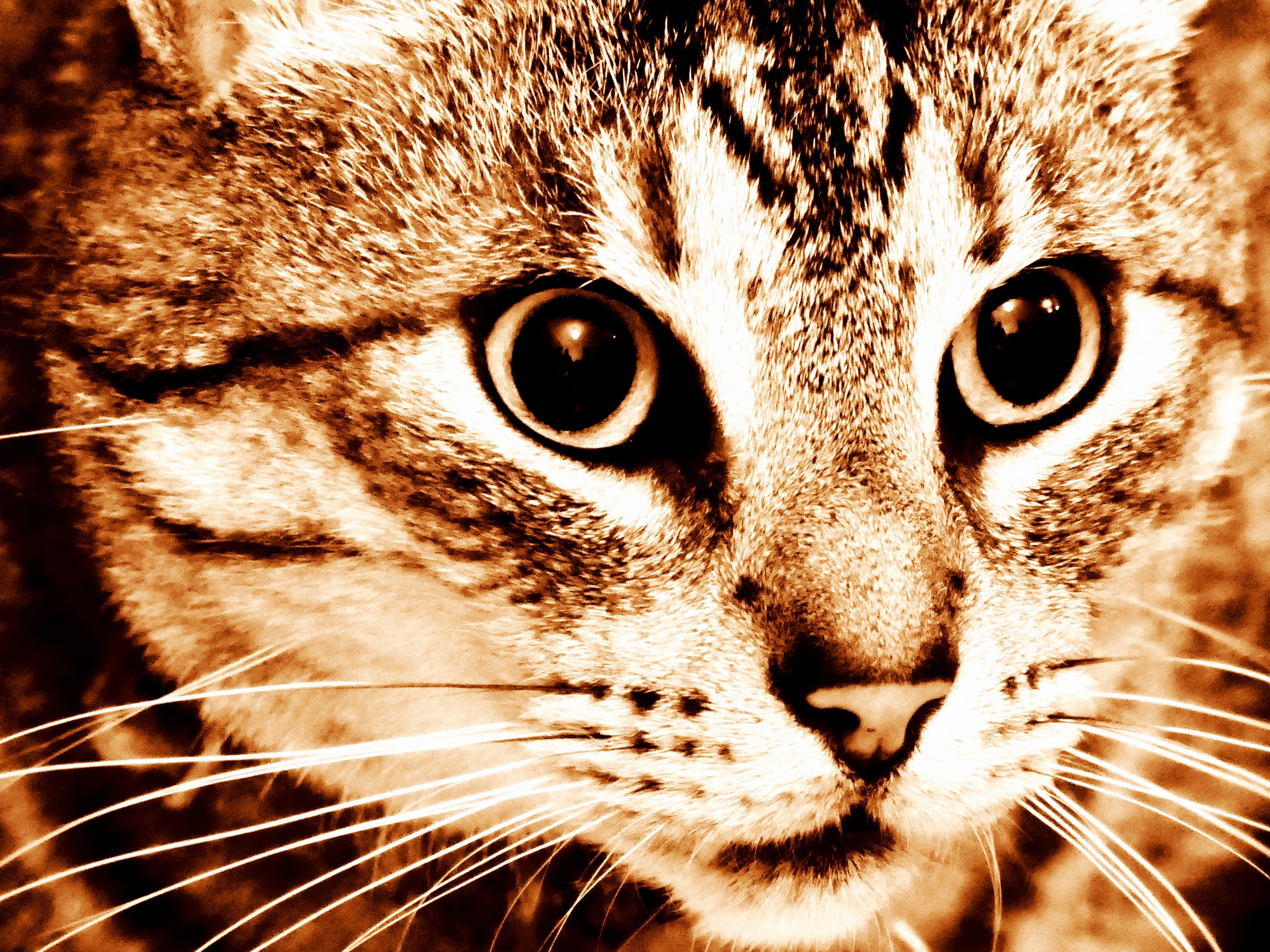 Darmowe Zdjęcia Zwierzę Domowe Kotek Fauna ścieśniać Wąsy