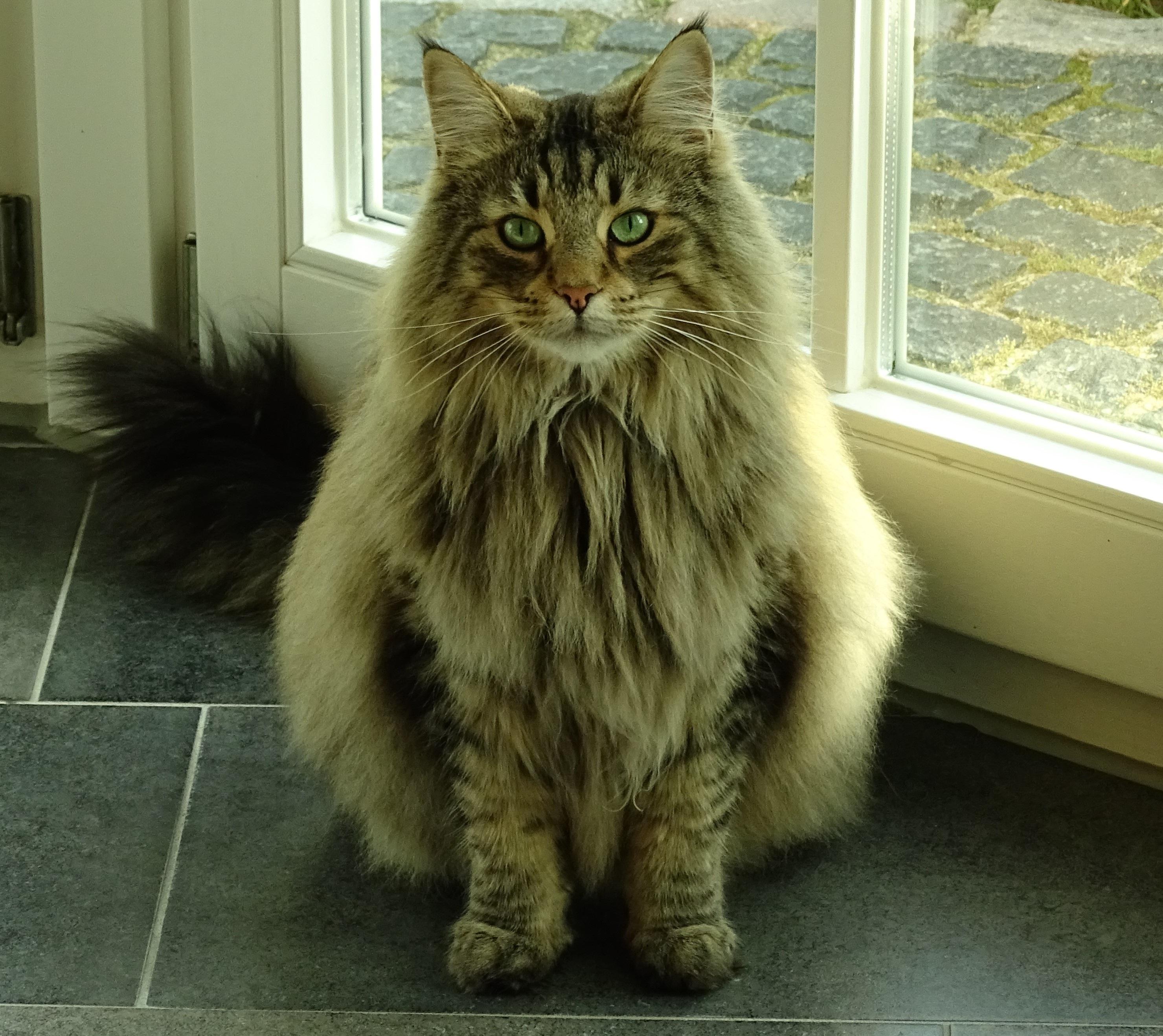 Сибирский с персидским кот