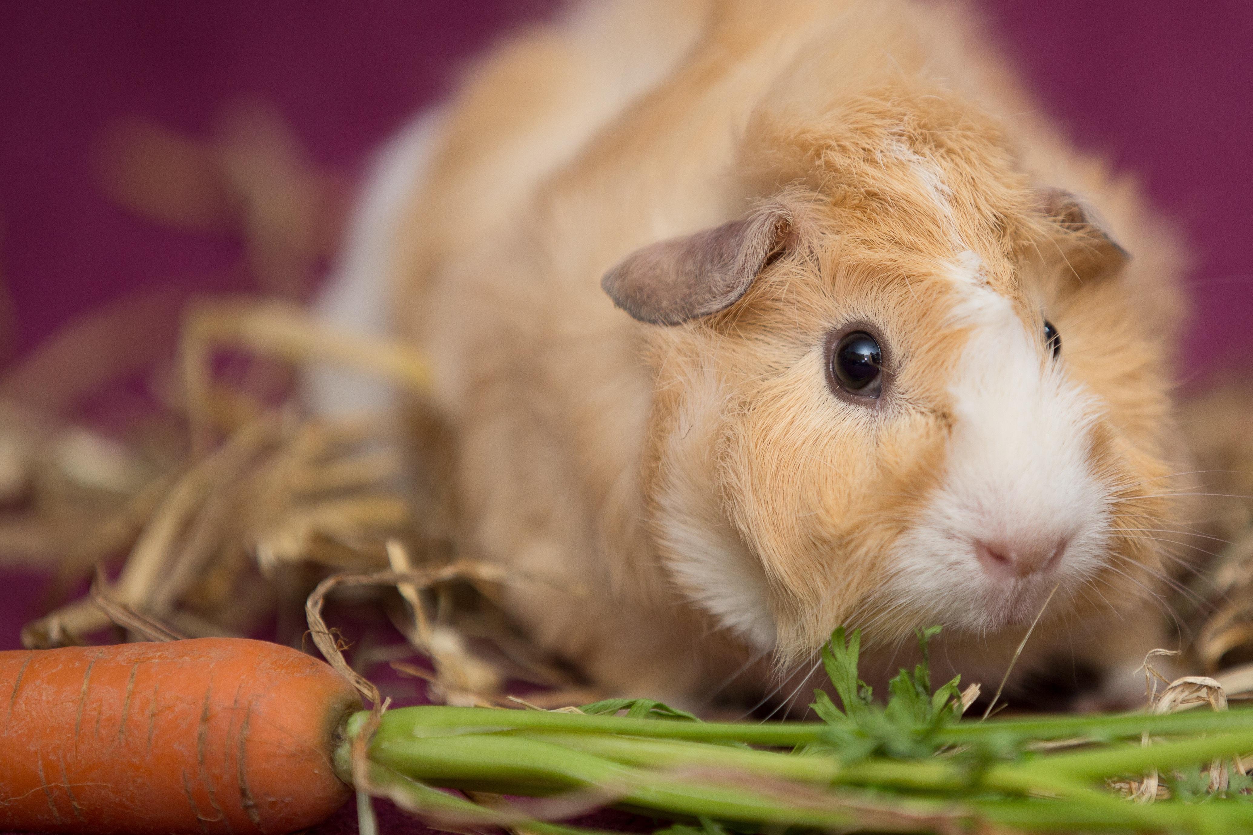 Gambar Membelai Binatang Menyusui Hamster Hewan
