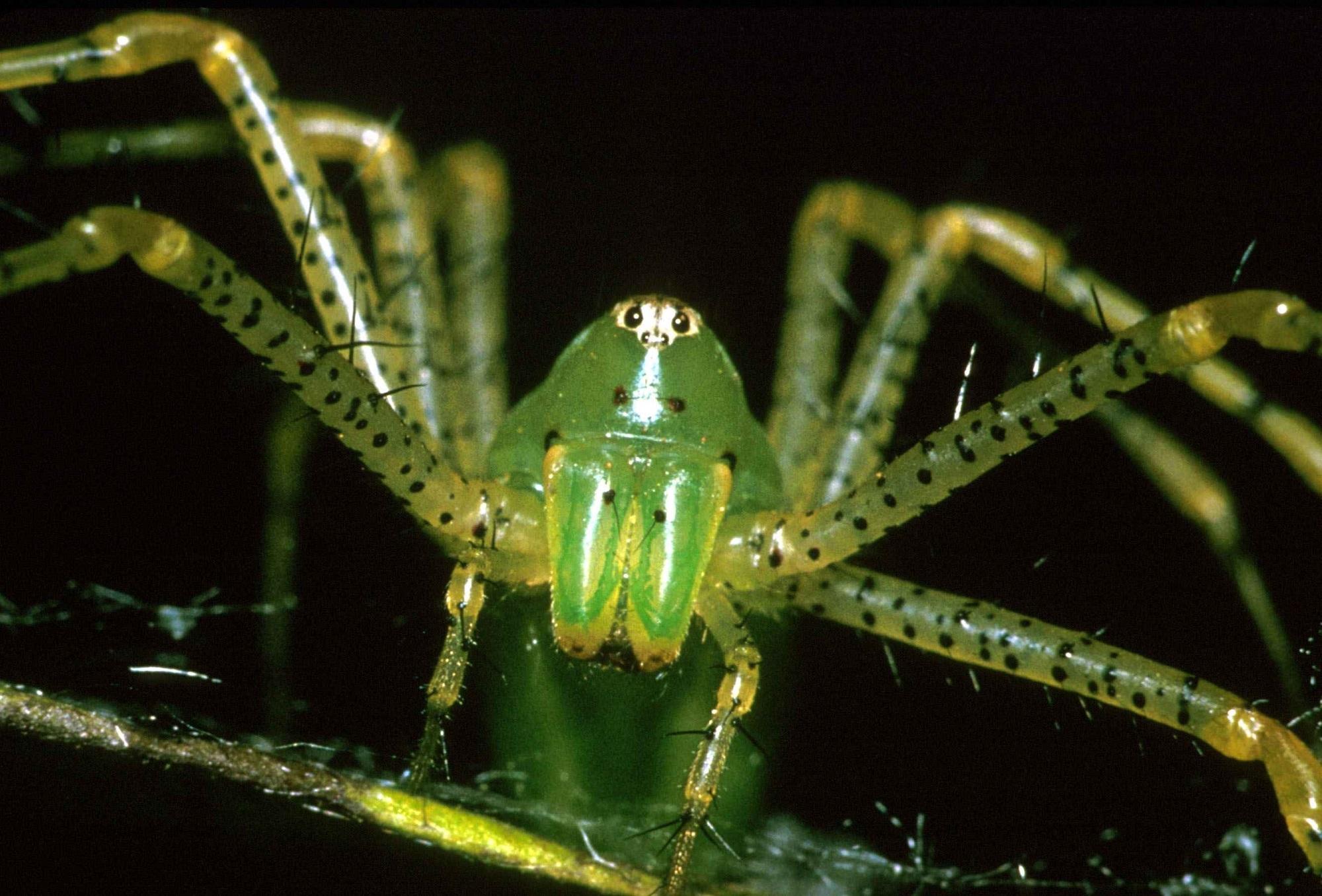 Показать картинку черного паука с зелеными глазами использовании веб-интерфейса