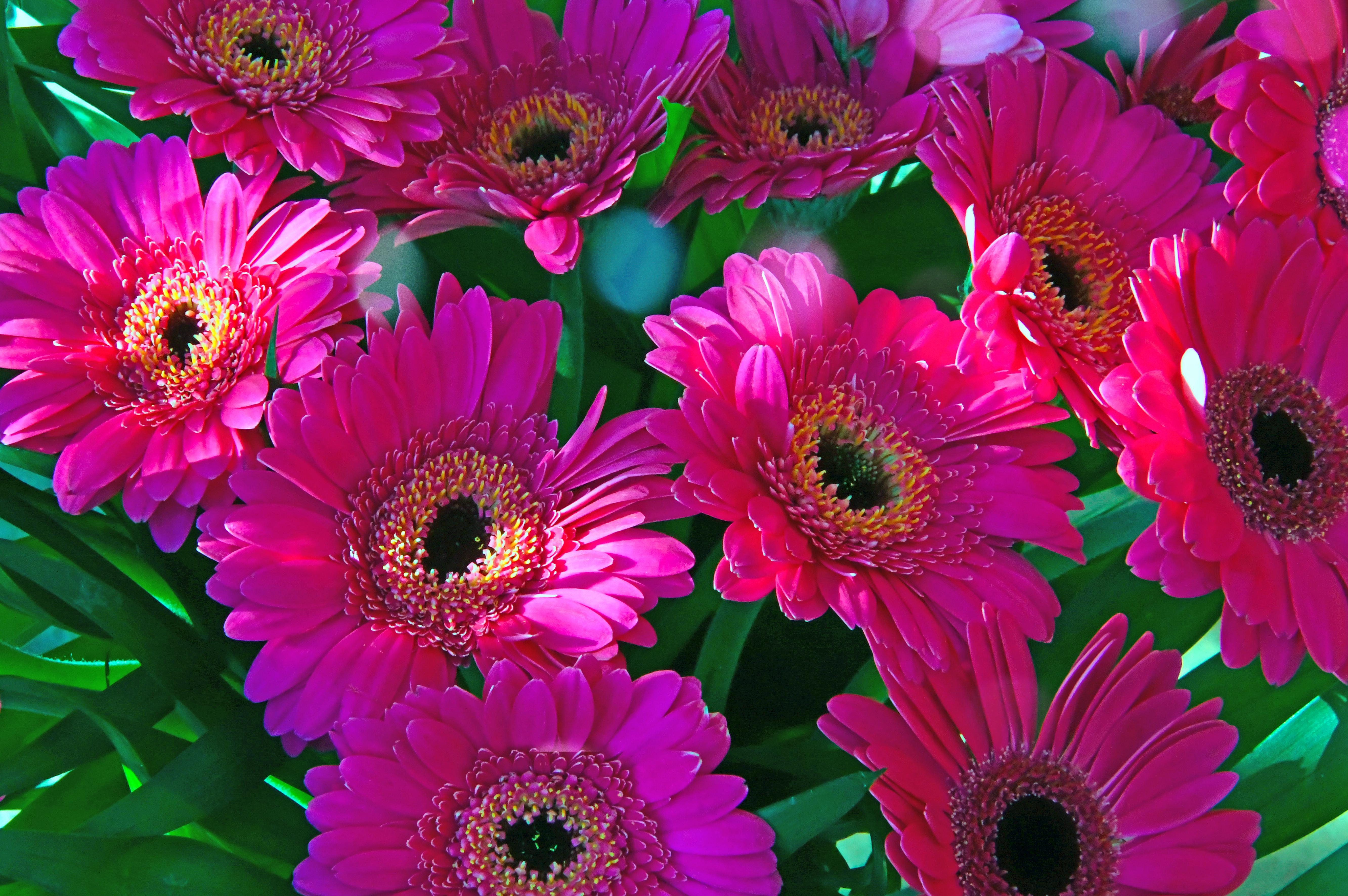 Gambar Berwarna Merah Muda Musim Gugur Latar Belakang Indah Bunga Aster Alam Keindahan Hijau Warna Warni Menanam Mekar Bunga Bunga Warna Musim Panas Merapatkan Putih Segar Terang Flora Daun Bunga Makro Ungu Tanaman