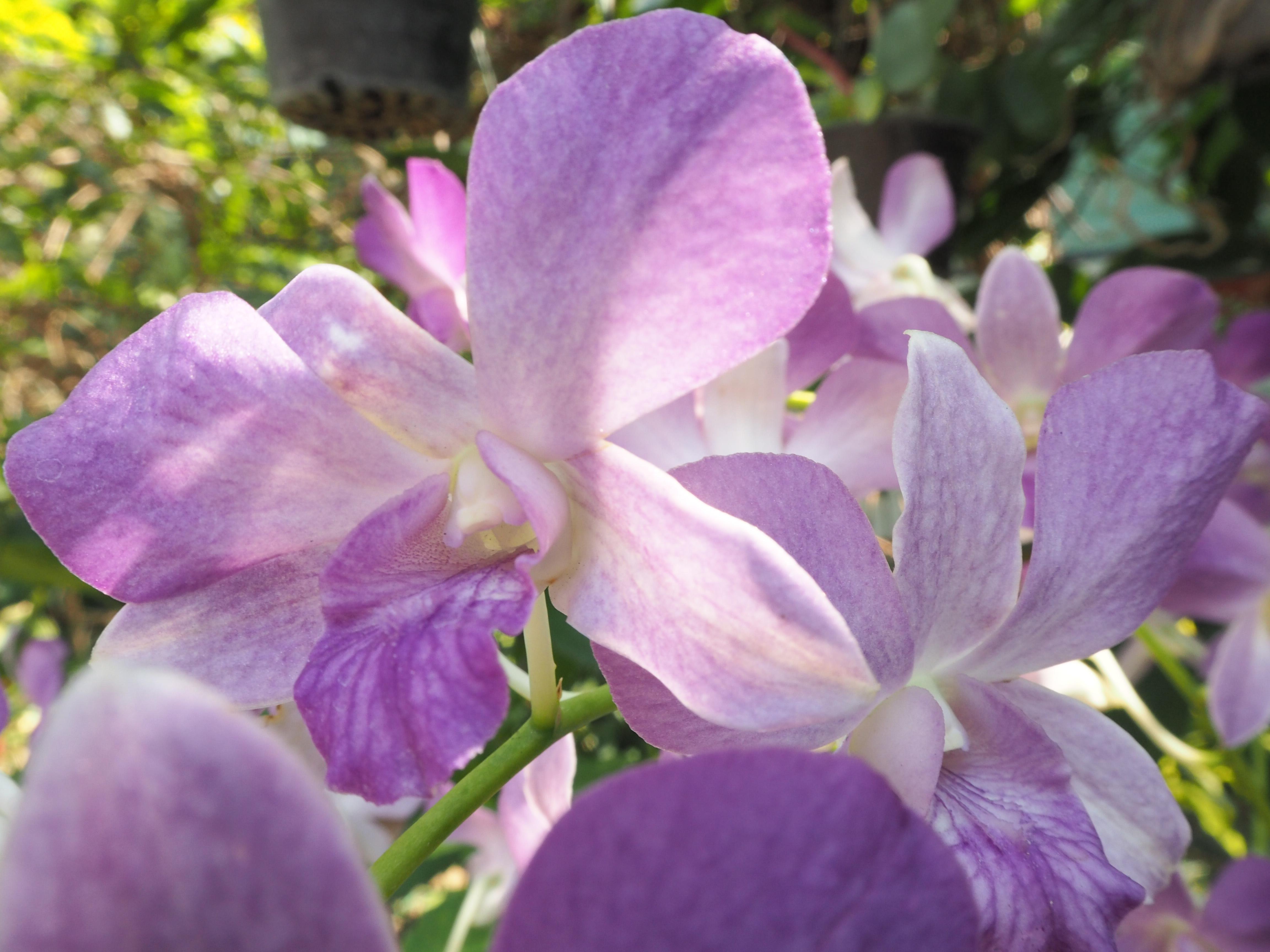 Images Gratuites Orchidee Rose Fleur Flore Violet Plante A