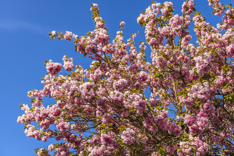 Albero Di Lillà immagini belle : fiorire, primavera, cielo, flora, lilla