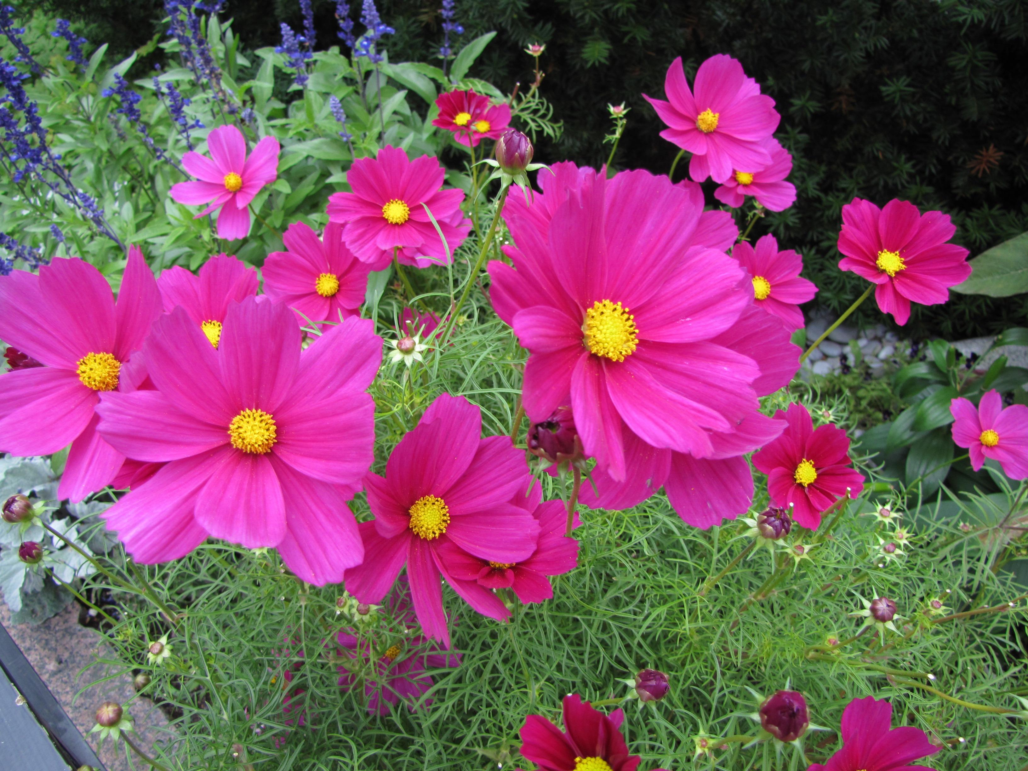 Gambar Menanam Daun Bunga Berwarna Merah Muda Flora Tanaman Hias Tanaman Berbunga Bunga Kosmos Keluarga Daisy Tanaman Tahunan Tanaman Tanah Marguerite Daisy Kosmos Taman 3264x2448 1123727 Galeri Foto Pxhere