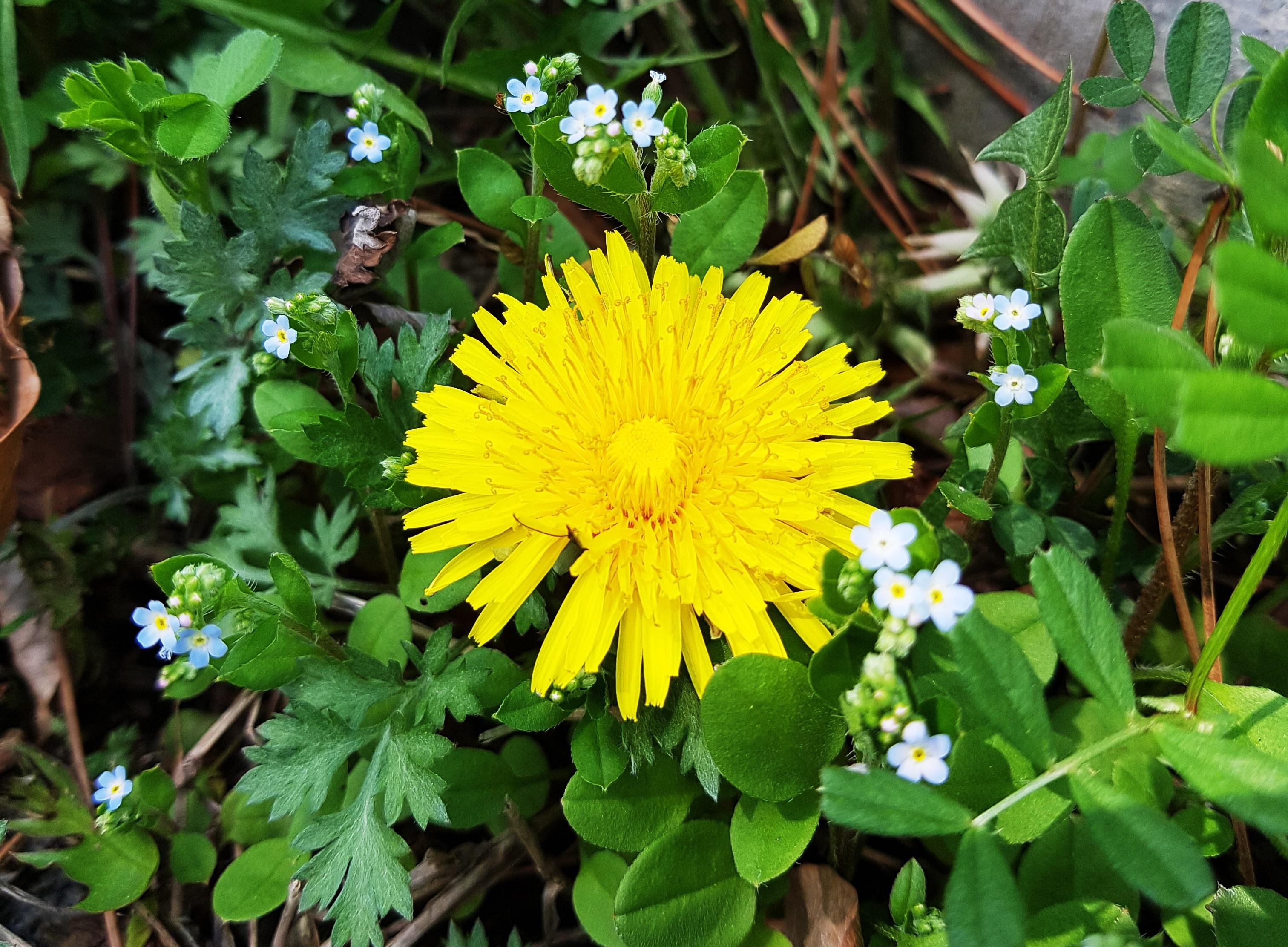 plante pissenlit fleur printemps herbe botanique jaune jardin flore fleur  jaune Fleur sauvage Corée fleurs de