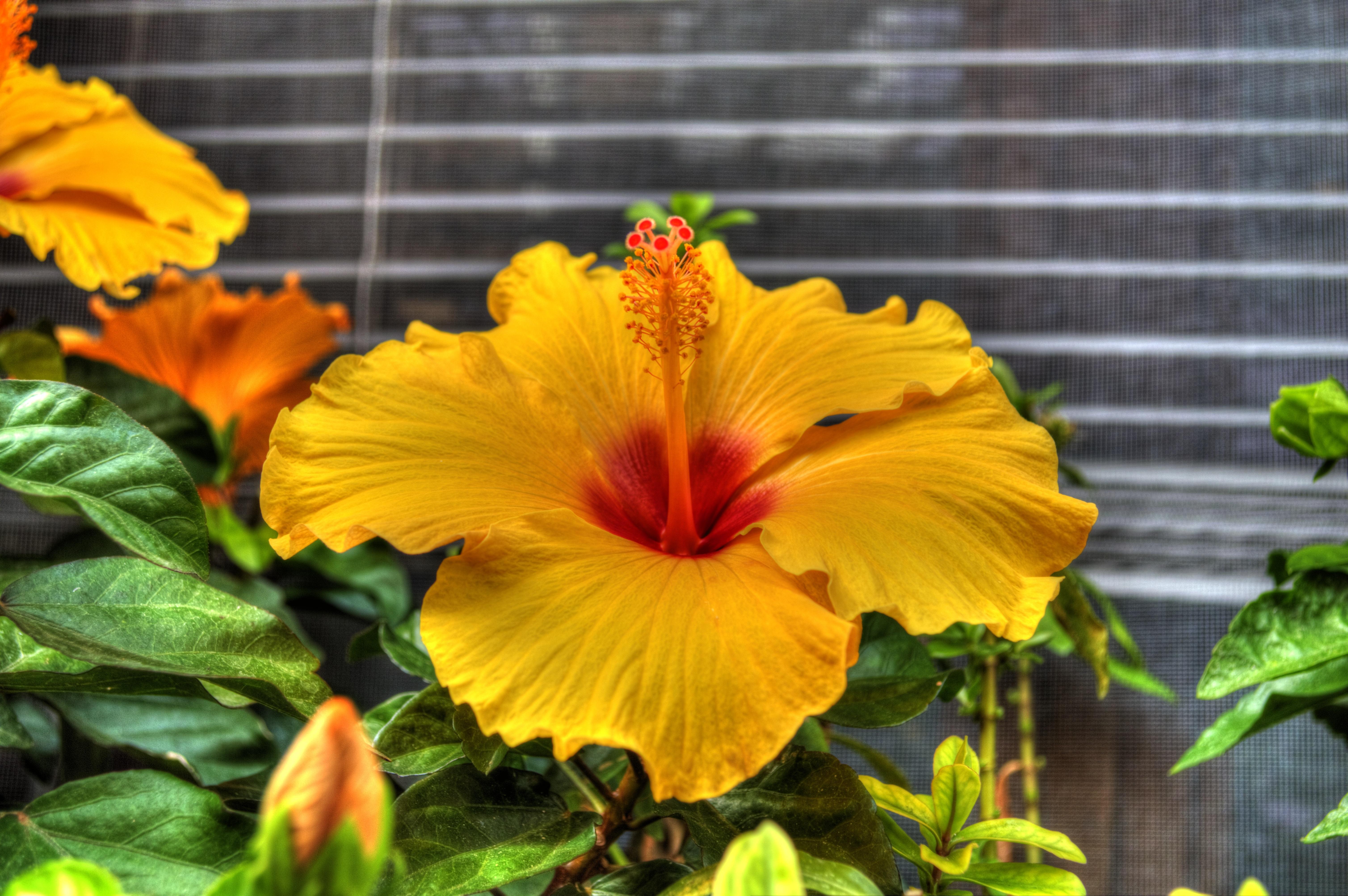 images gratuites : pissenlit, feuille, pétale, été, botanique