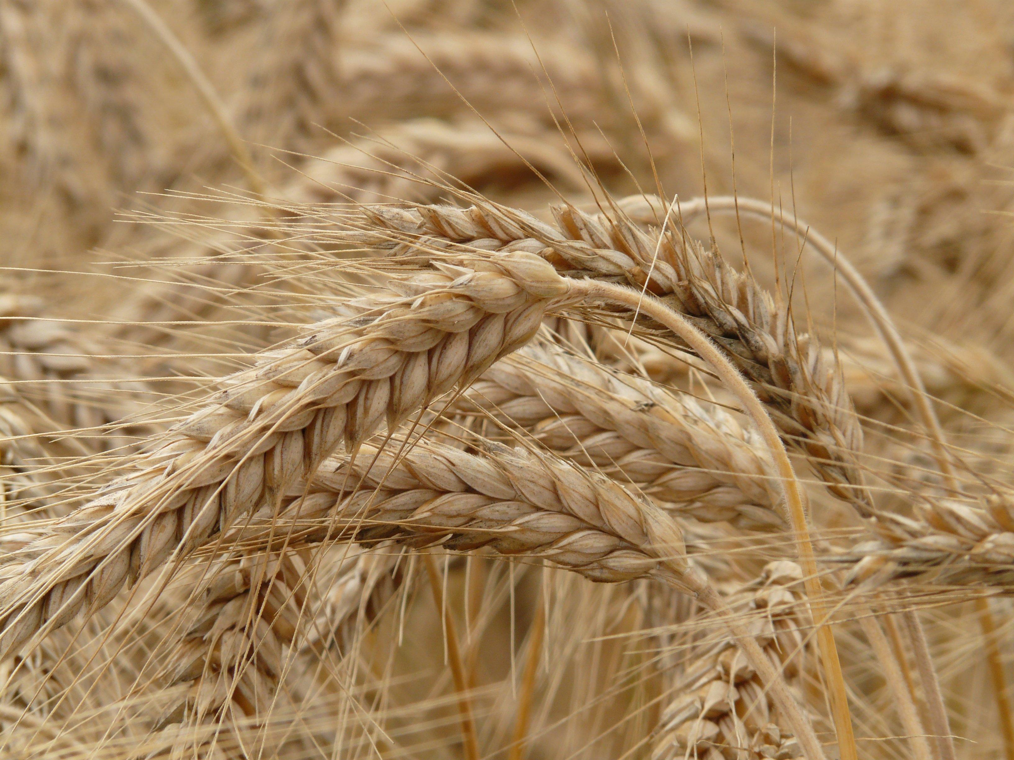 пляж, котором картинки пшеница ячмень рожь интерьере вовсе сводятся