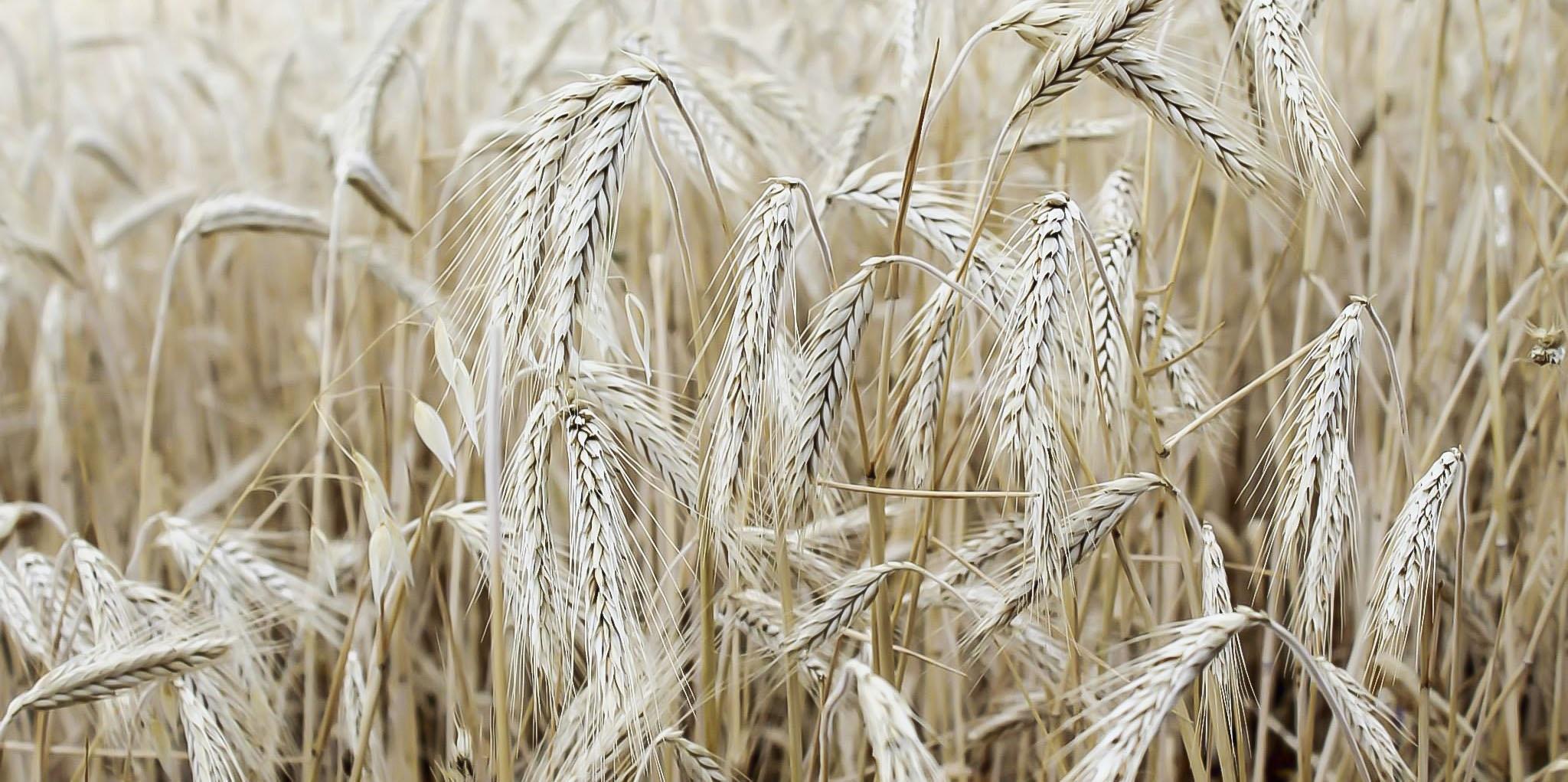 фото ячменя пшеницы ржи его составе присутствуют