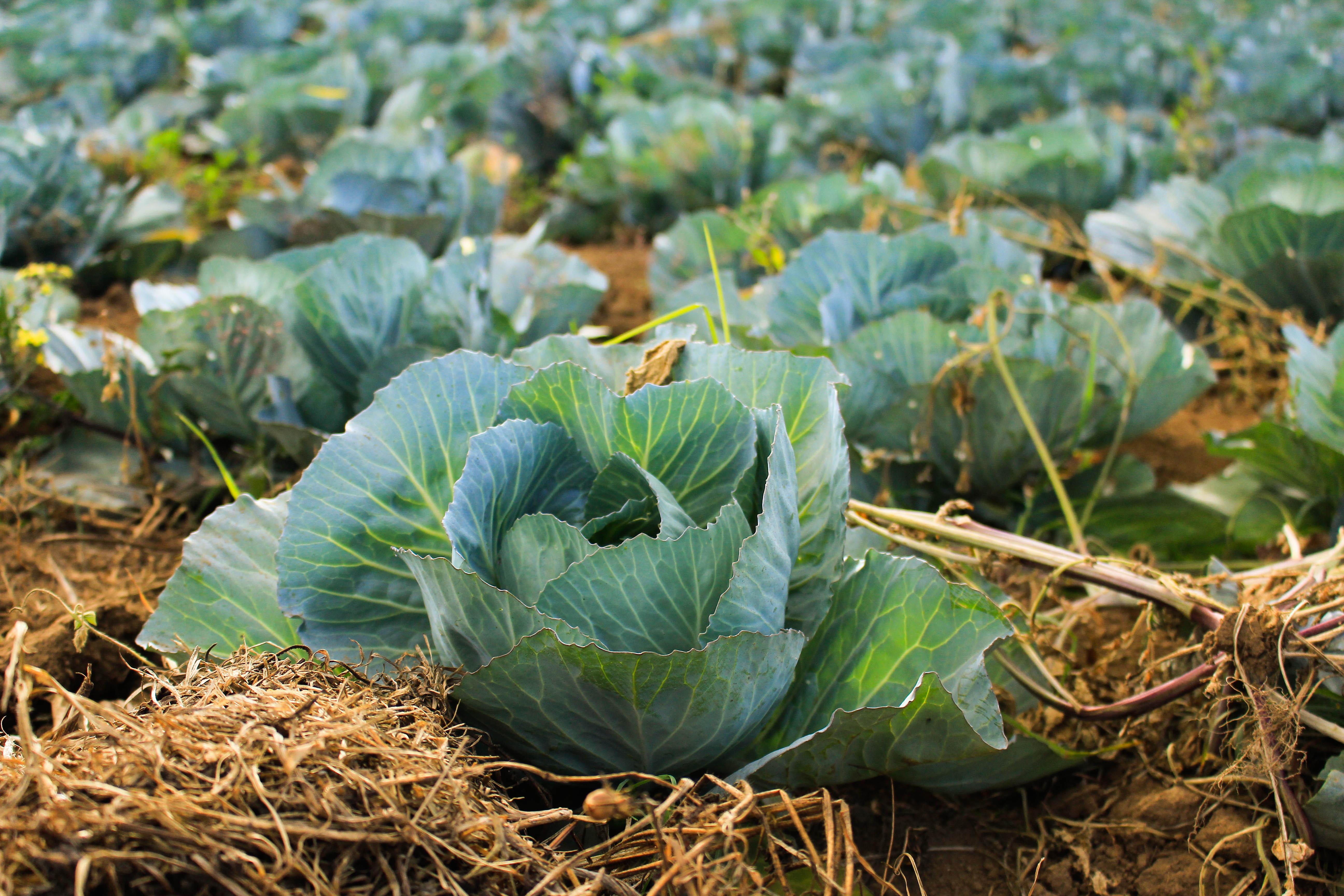 Fotos gratis : planta, granja, flor, comida, Produce ...