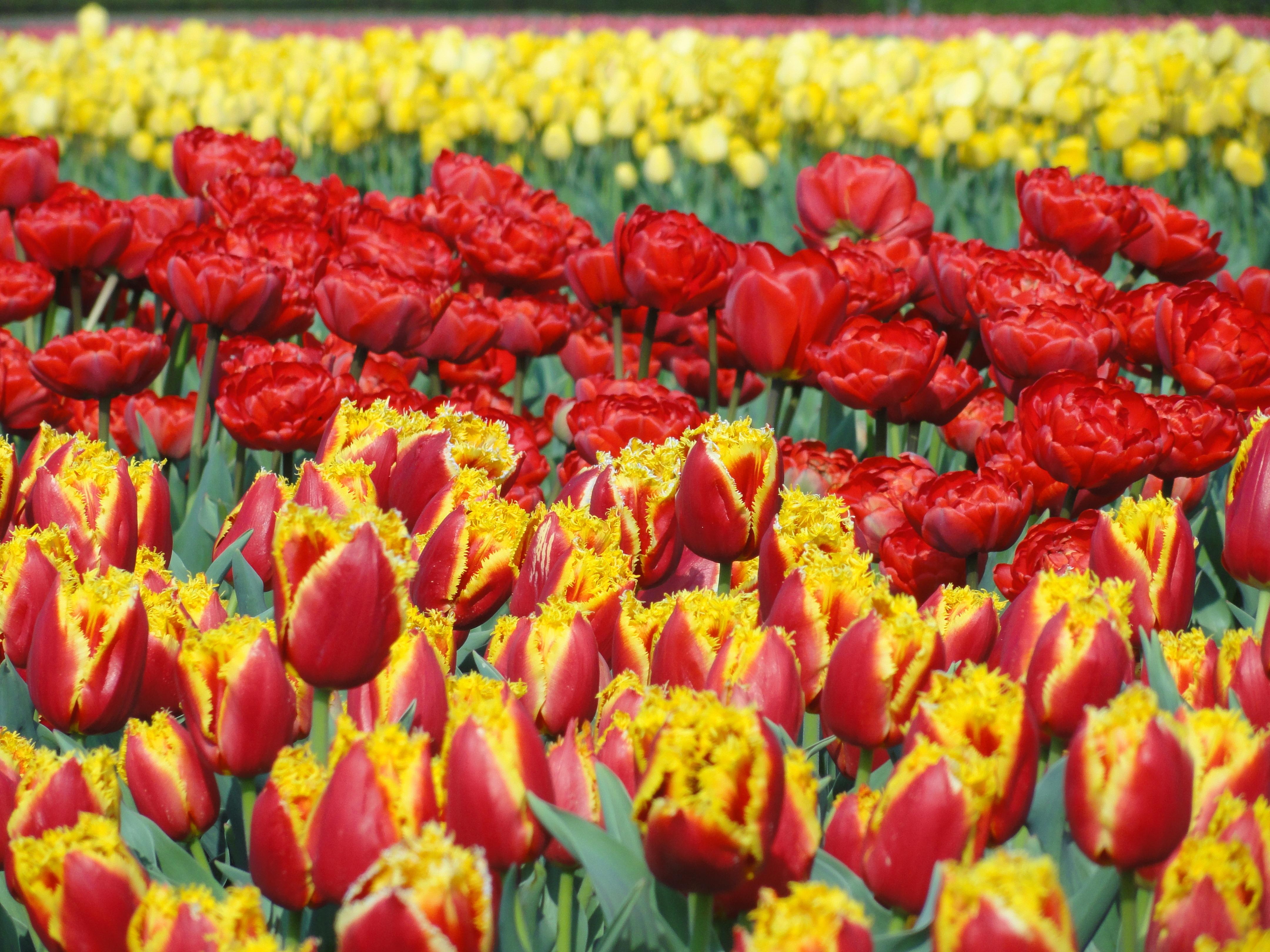 7c38ec1cfd3a planta campo flor florecer floral tulipán primavera rojo vistoso amarillo  Plantas Flores Bombillas Flores Tulipanes planta