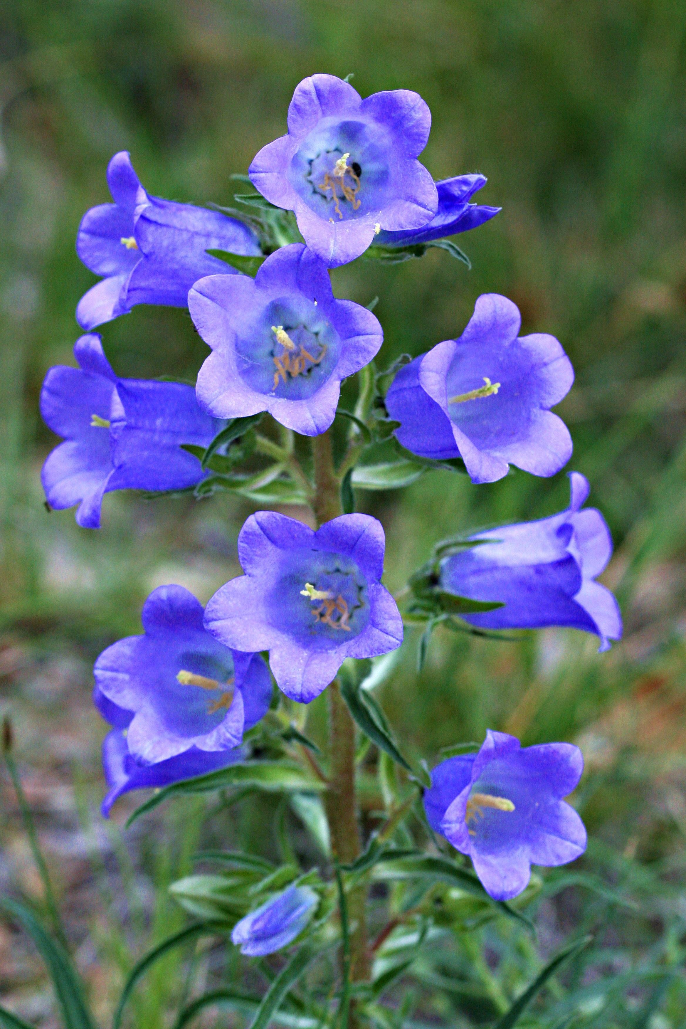 колокольчикообразные цветы с фото дело