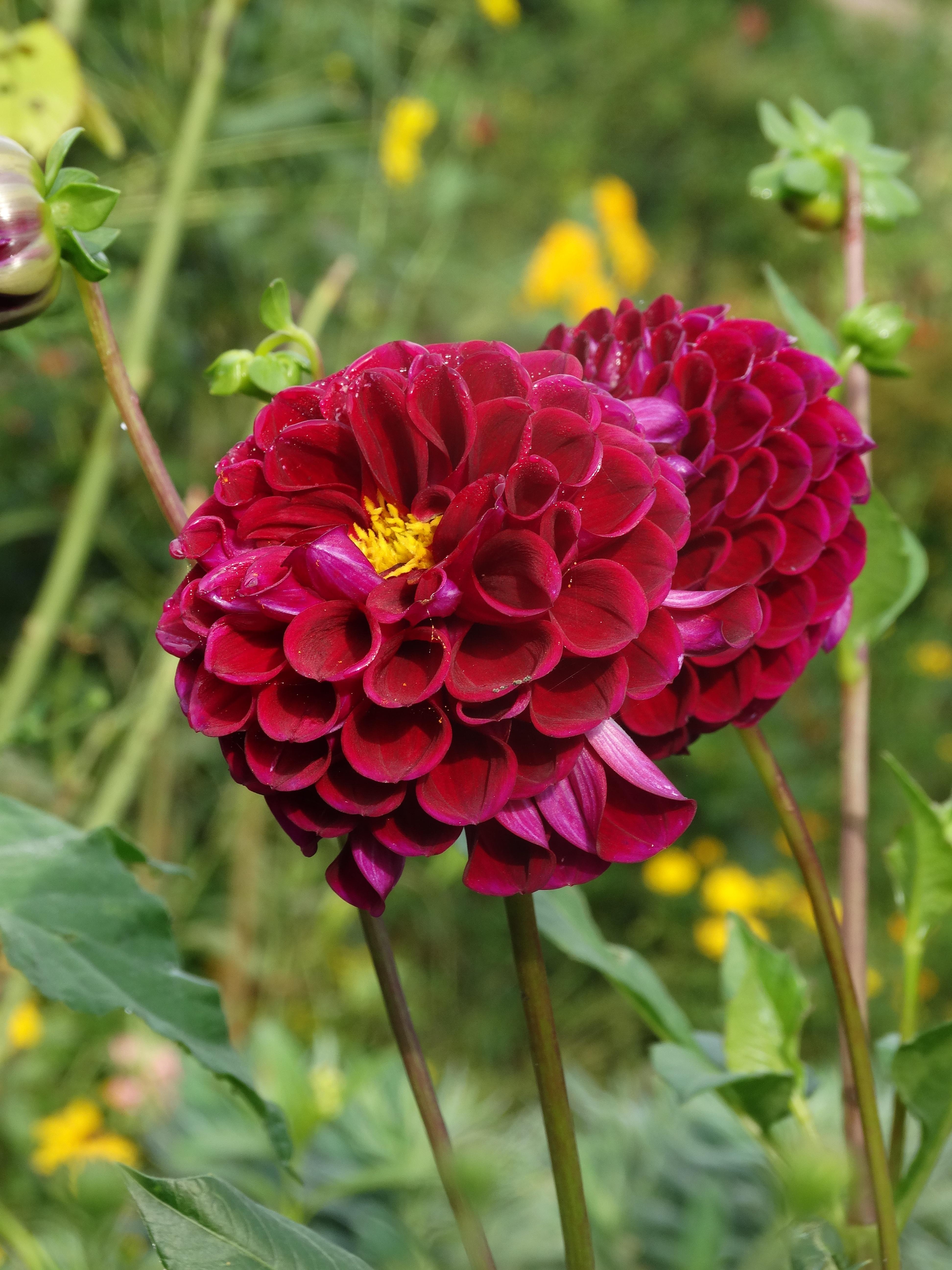 Free Images Field Flower Petal Botany Garden Flora